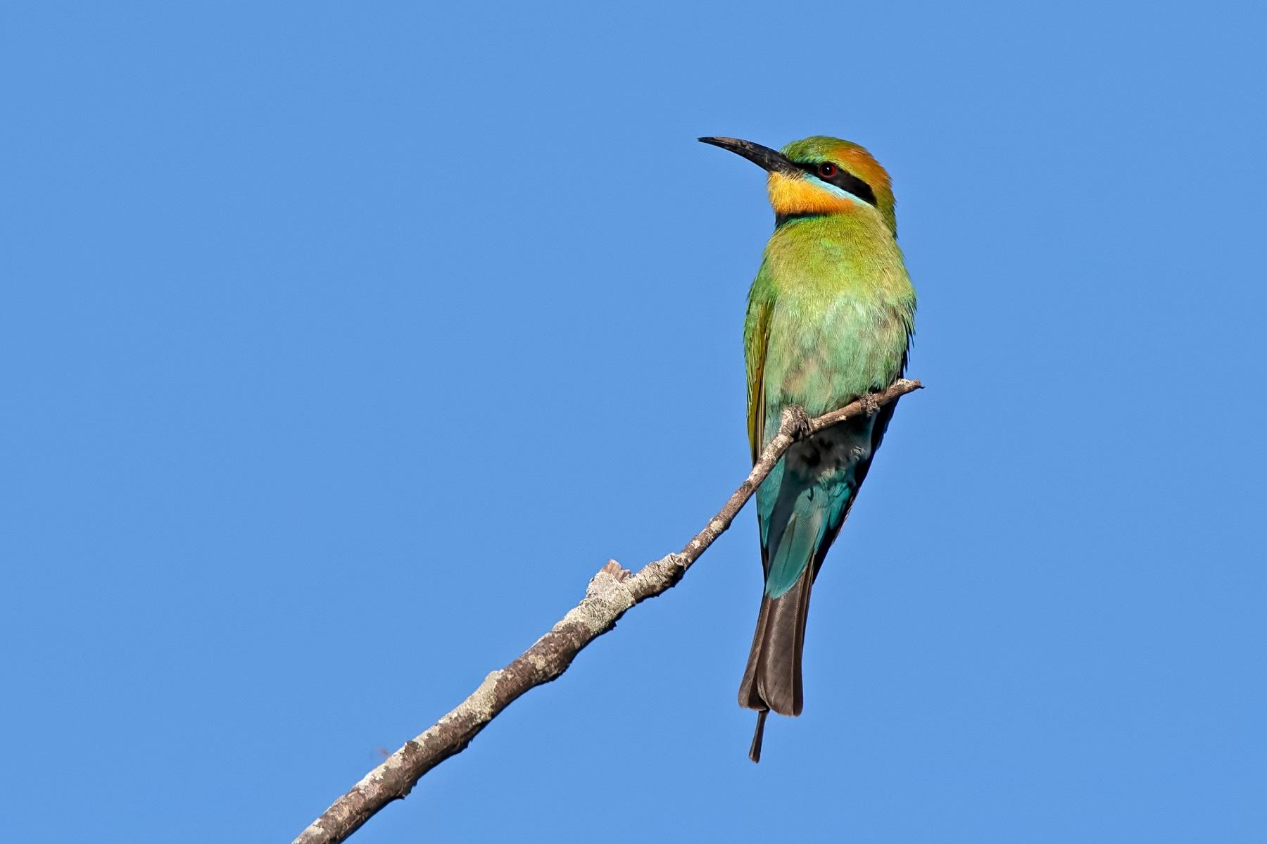 Rainbow Bee-eater (Image ID 42870)