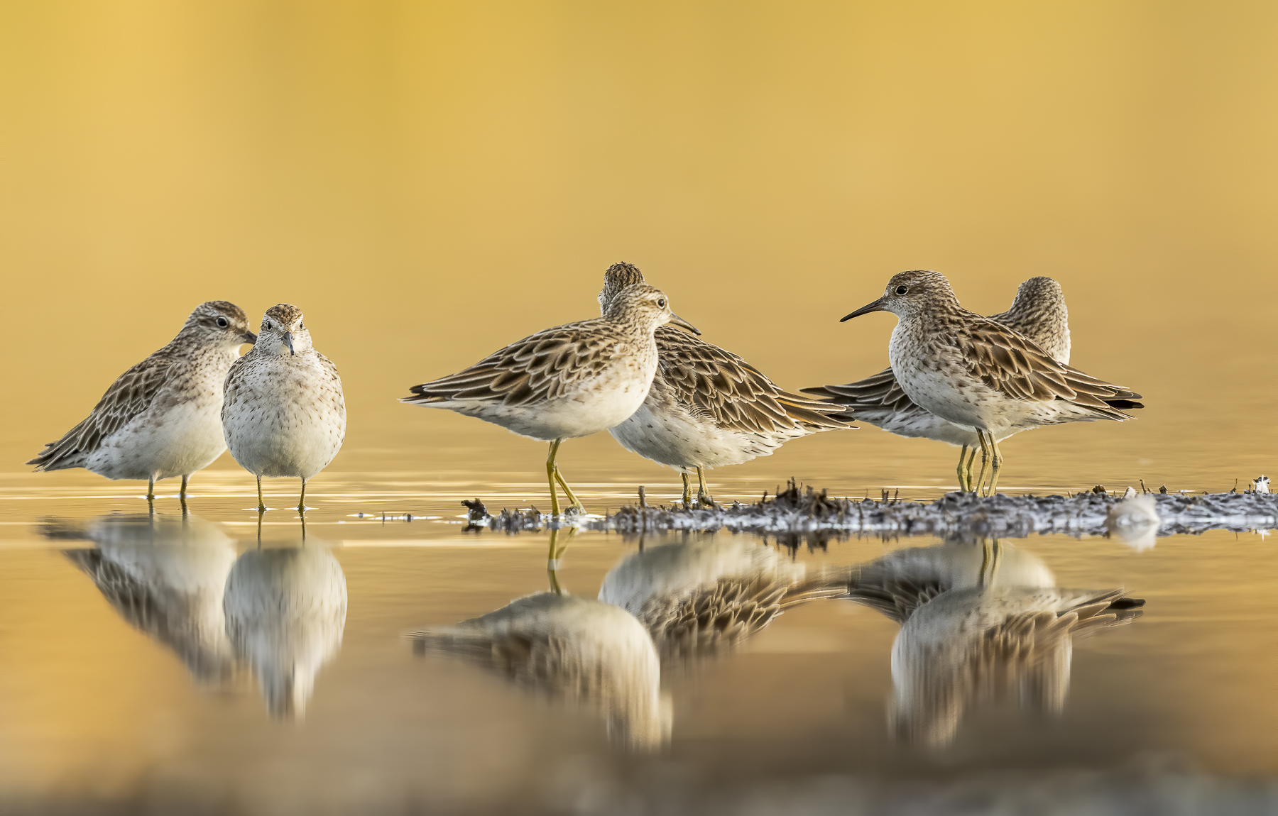 Sharp-tailed Sandpiper (Image ID 42935)