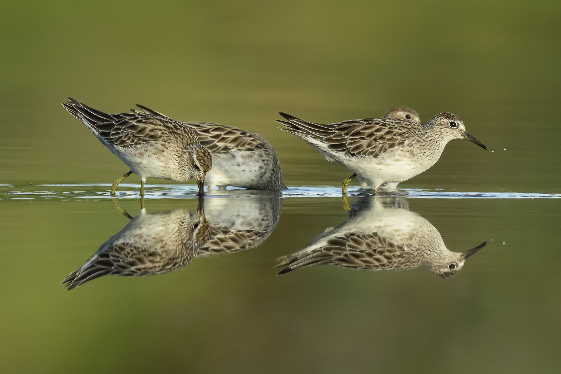 Sharp-tailed Sandpiper (Image ID 42887)