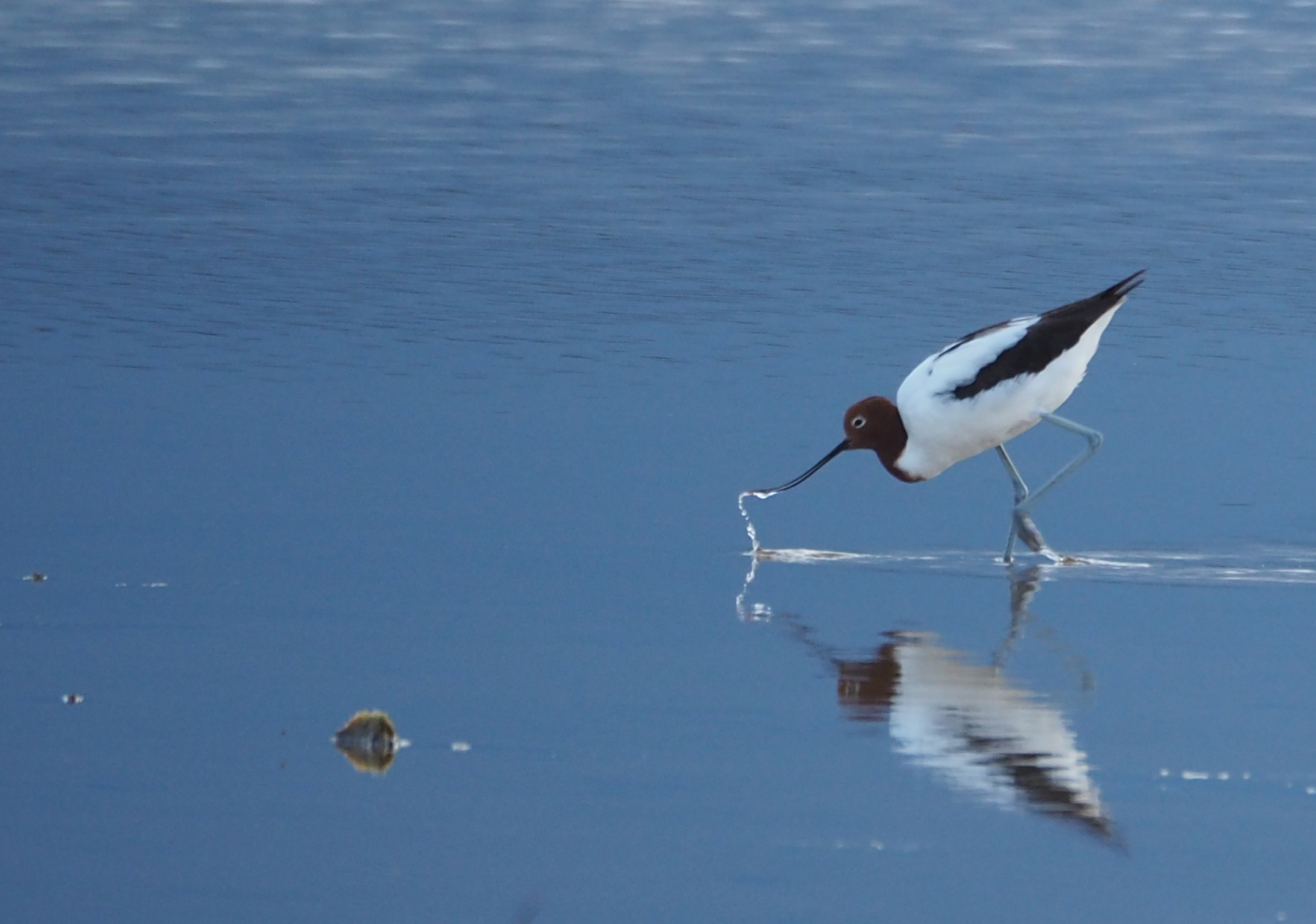 Red-necked Avocet (Image ID 43097)
