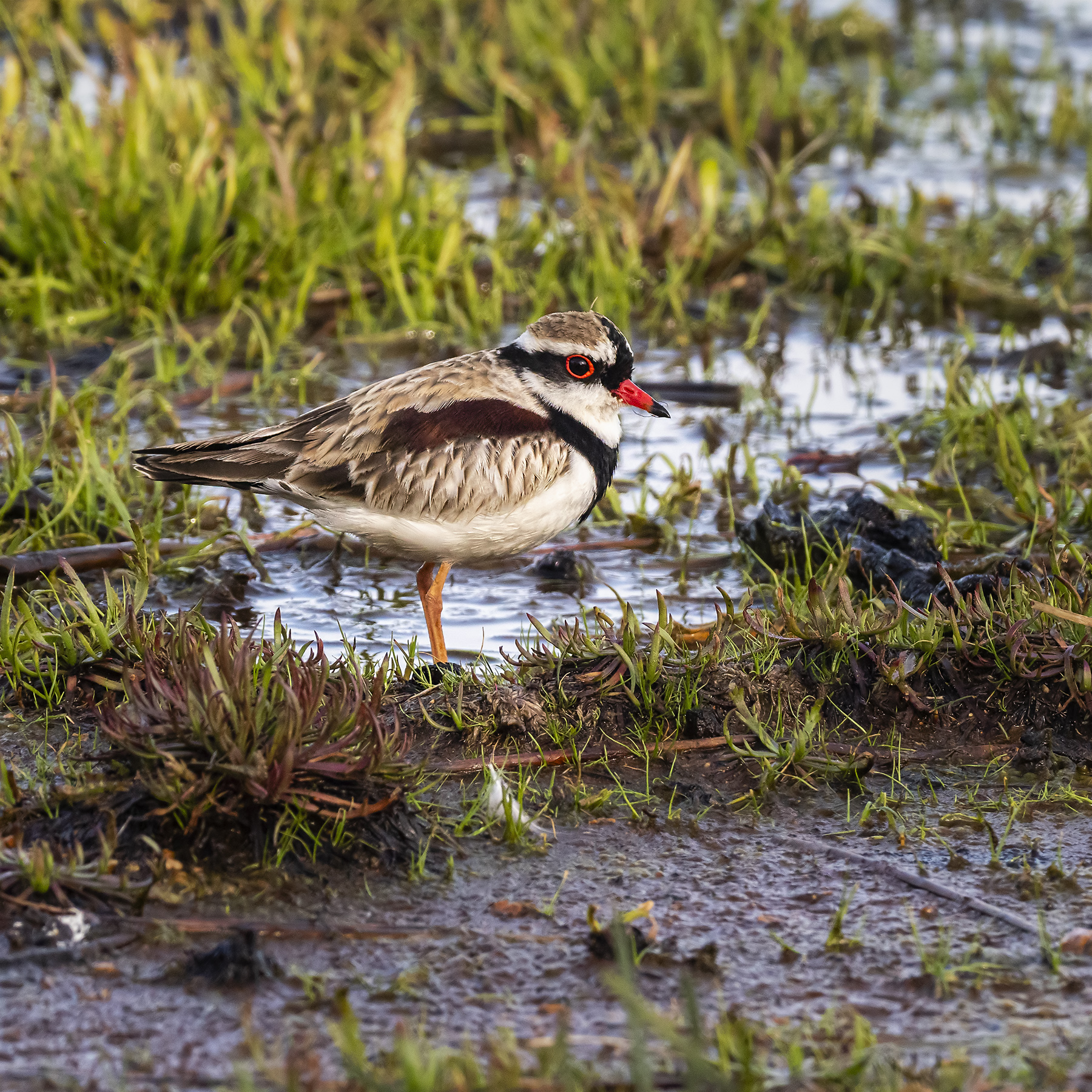 Black-fronted Dotterel (Image ID 42784)