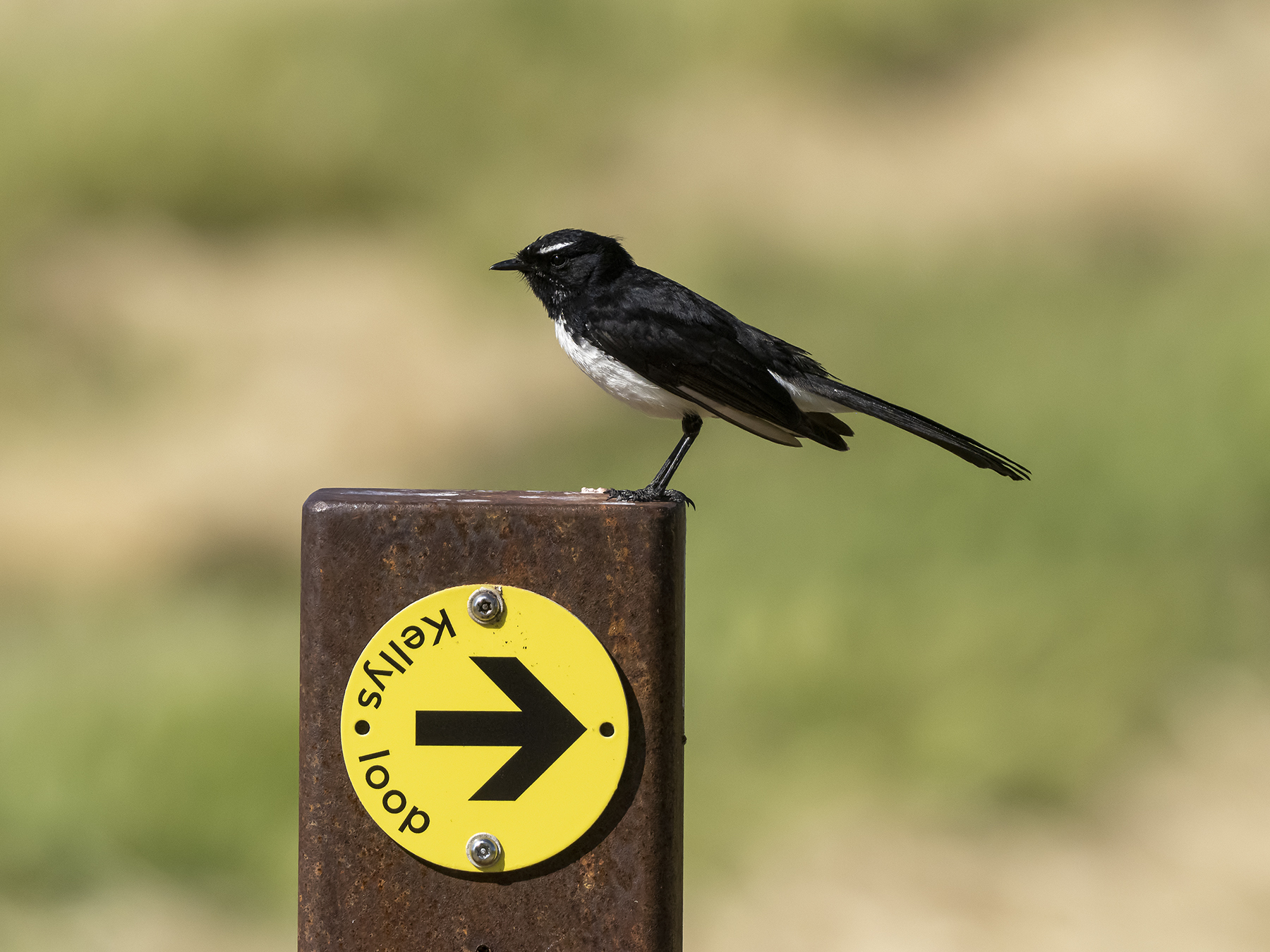 Willie Wagtail (Image ID 43084)