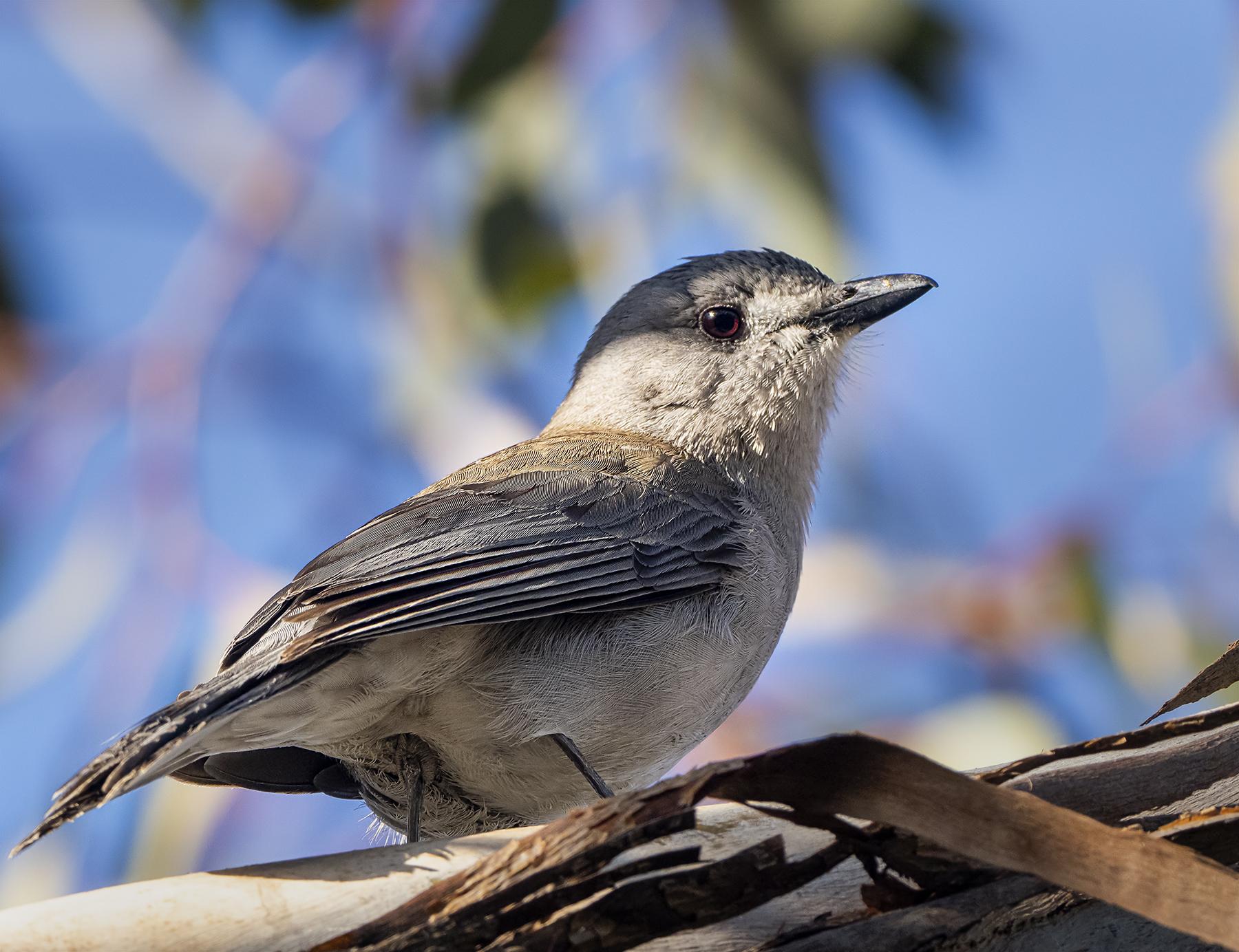 Grey Shrike-thrush (Image ID 42774)