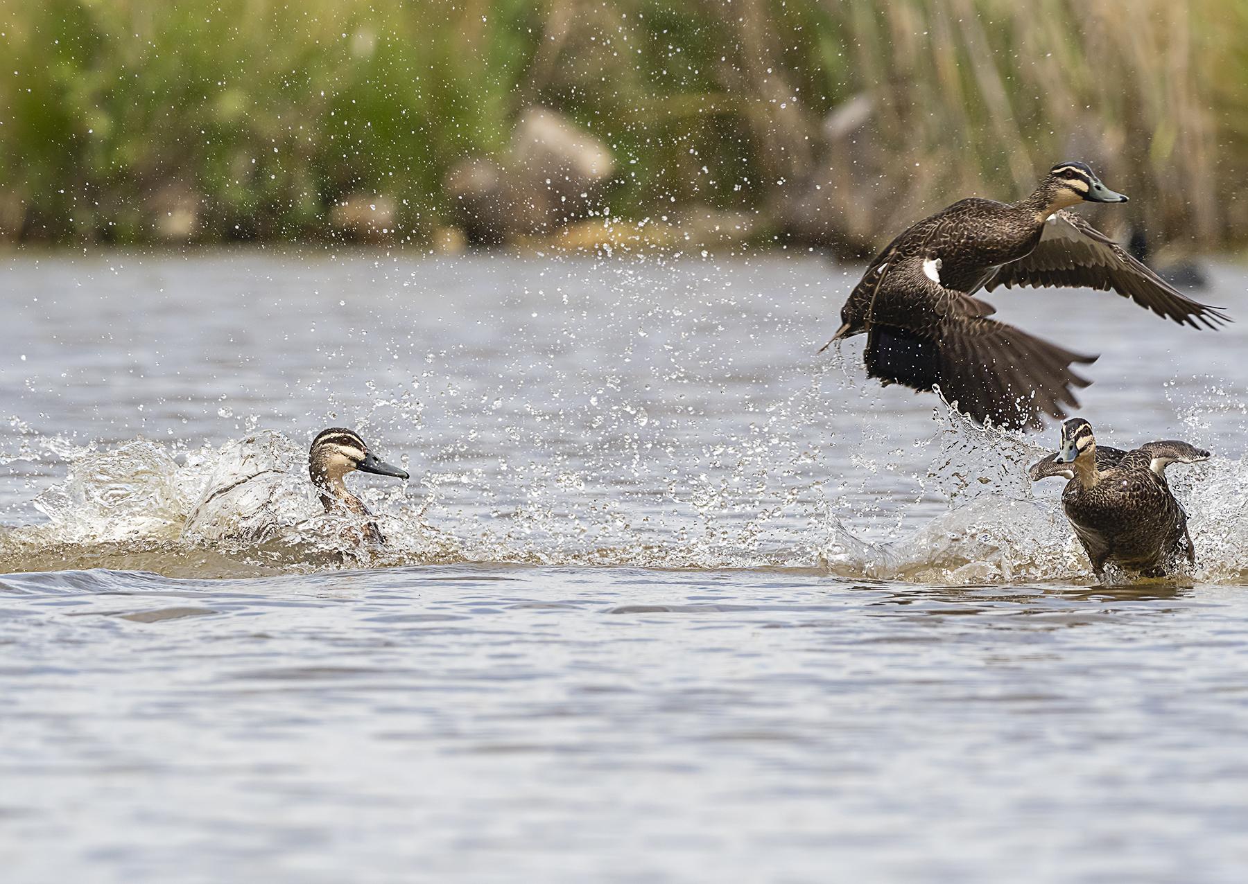 Pacific Black Duck (Image ID 42785)