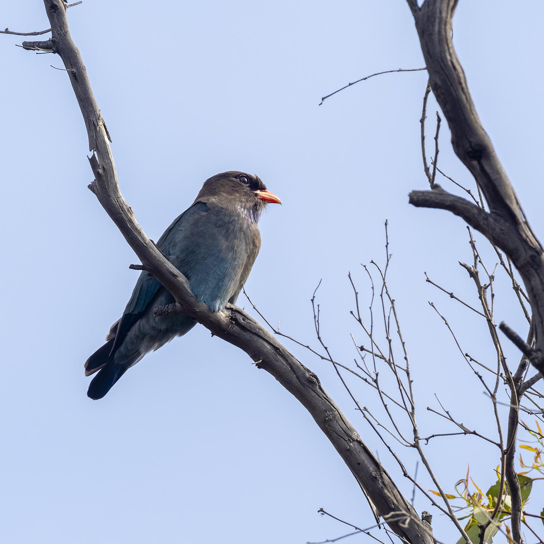 Oriental Dollarbird (Image ID 43046)