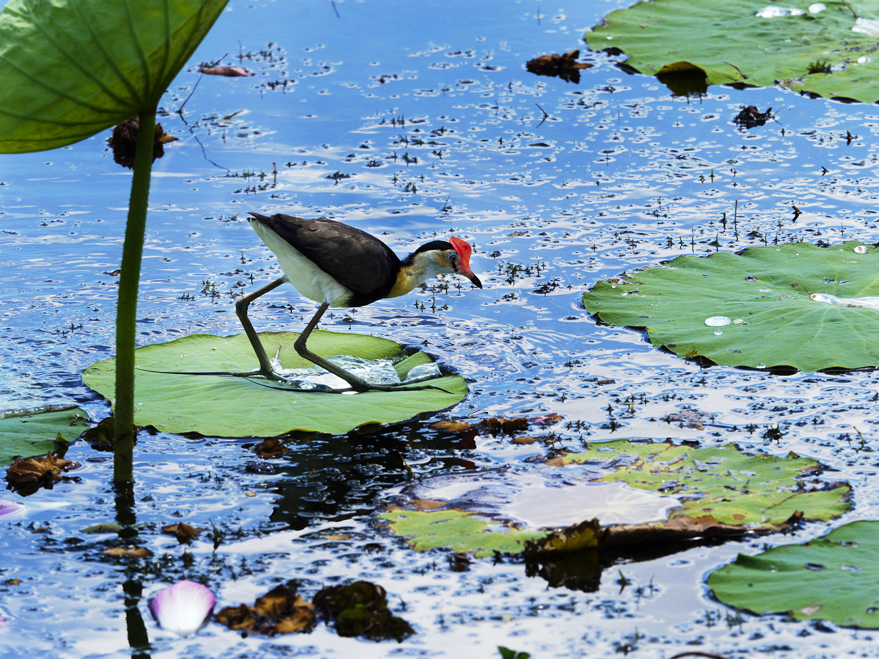 Comb-crested Jacana (Image ID 42953)