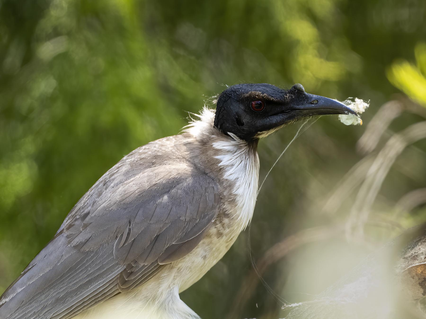 Noisy Friarbird (Image ID 43078)