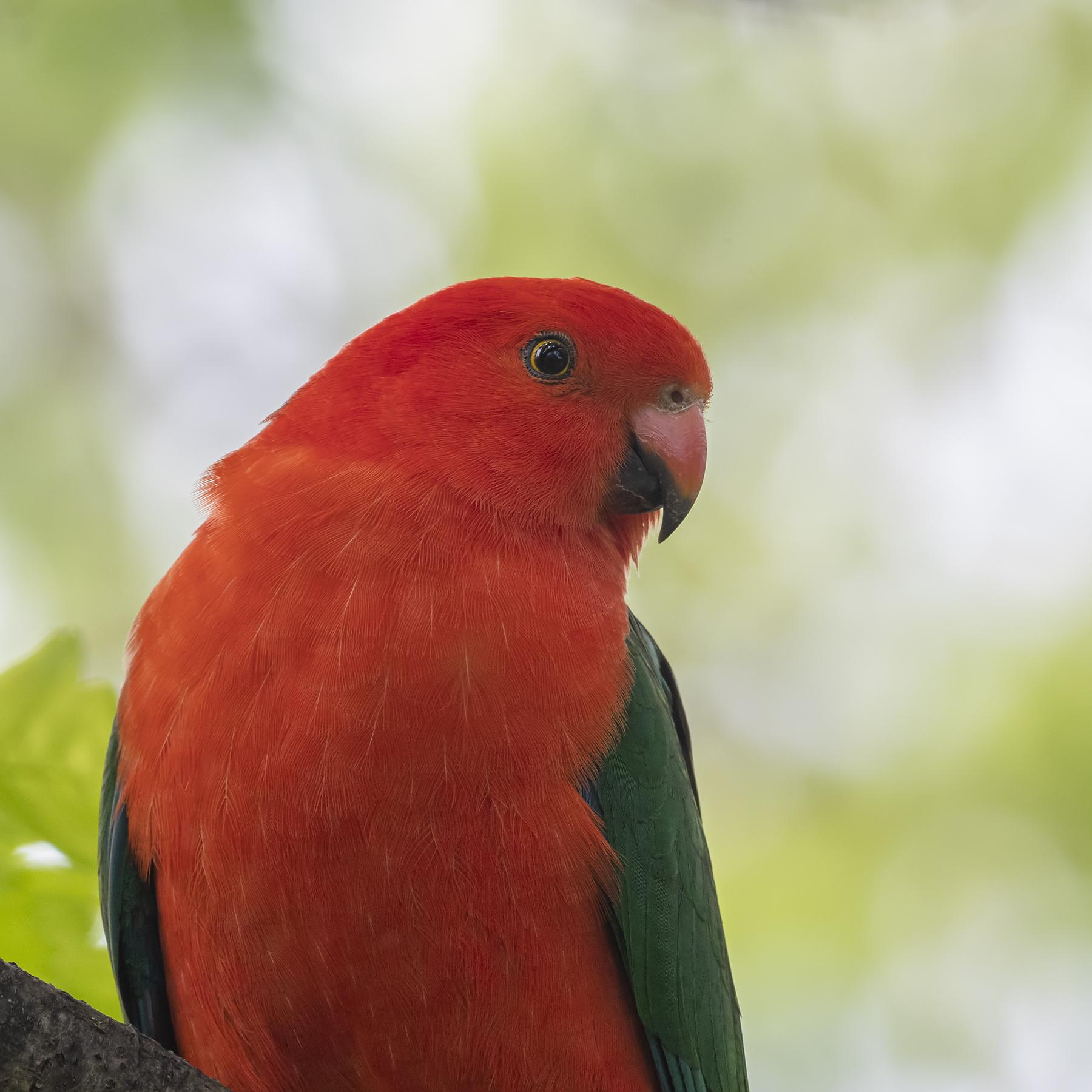 Australian King-Parrot (Image ID 43021)