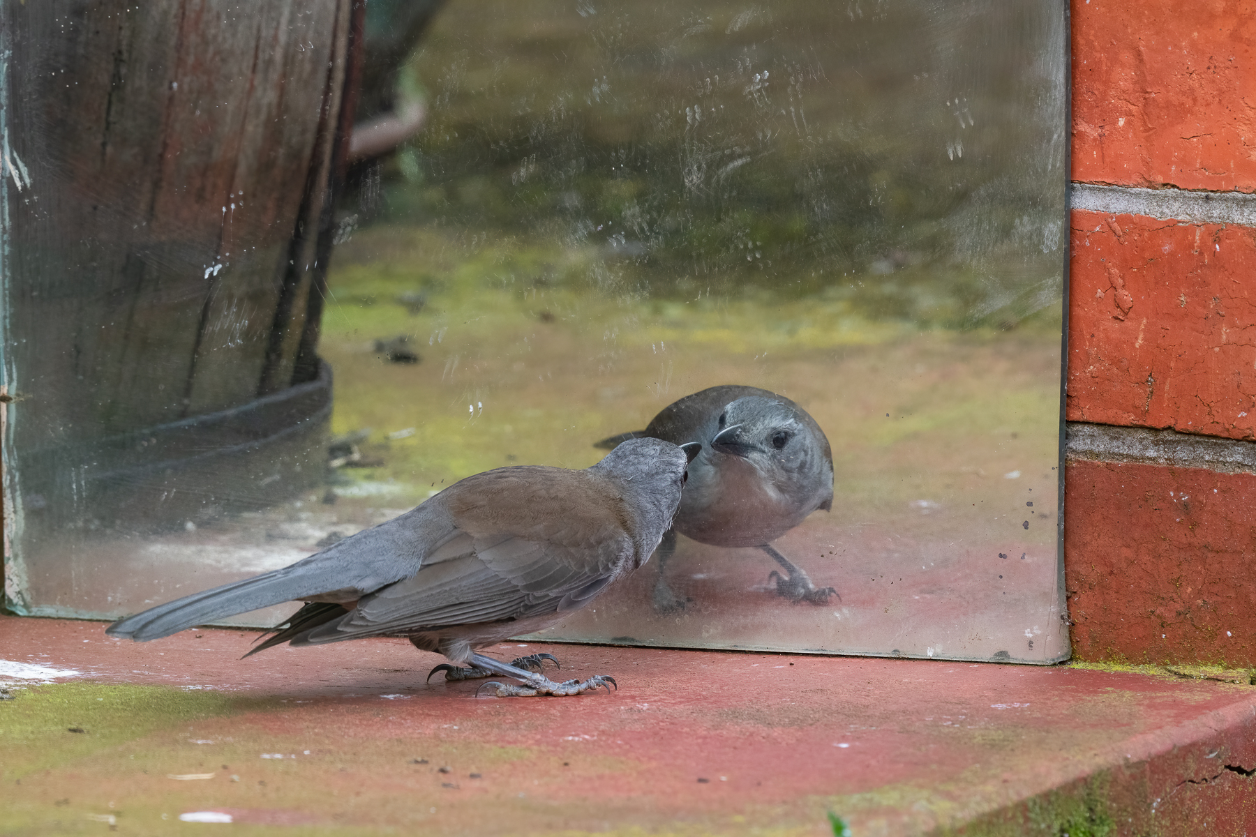Grey Shrike-thrush (Image ID 42846)