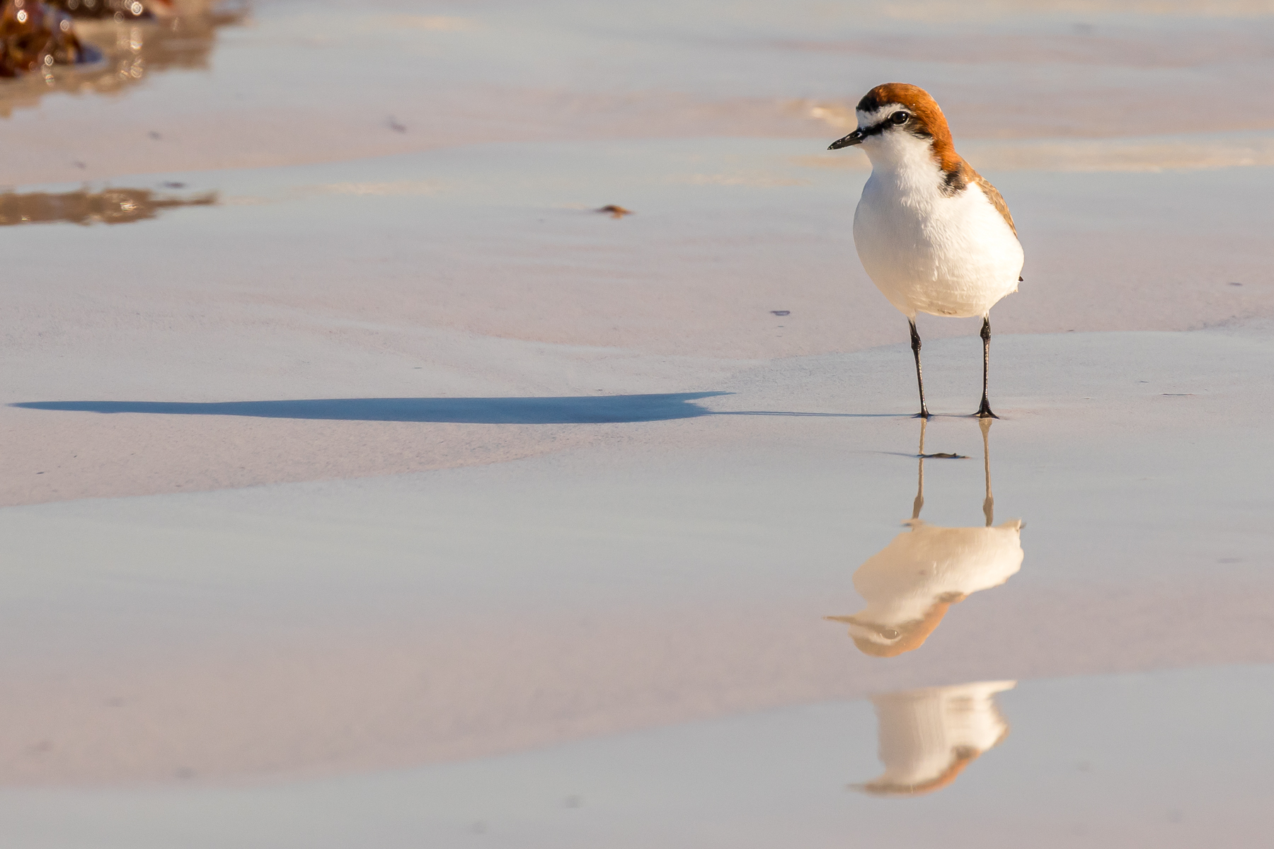Red-capped Plover (Image ID 42786)