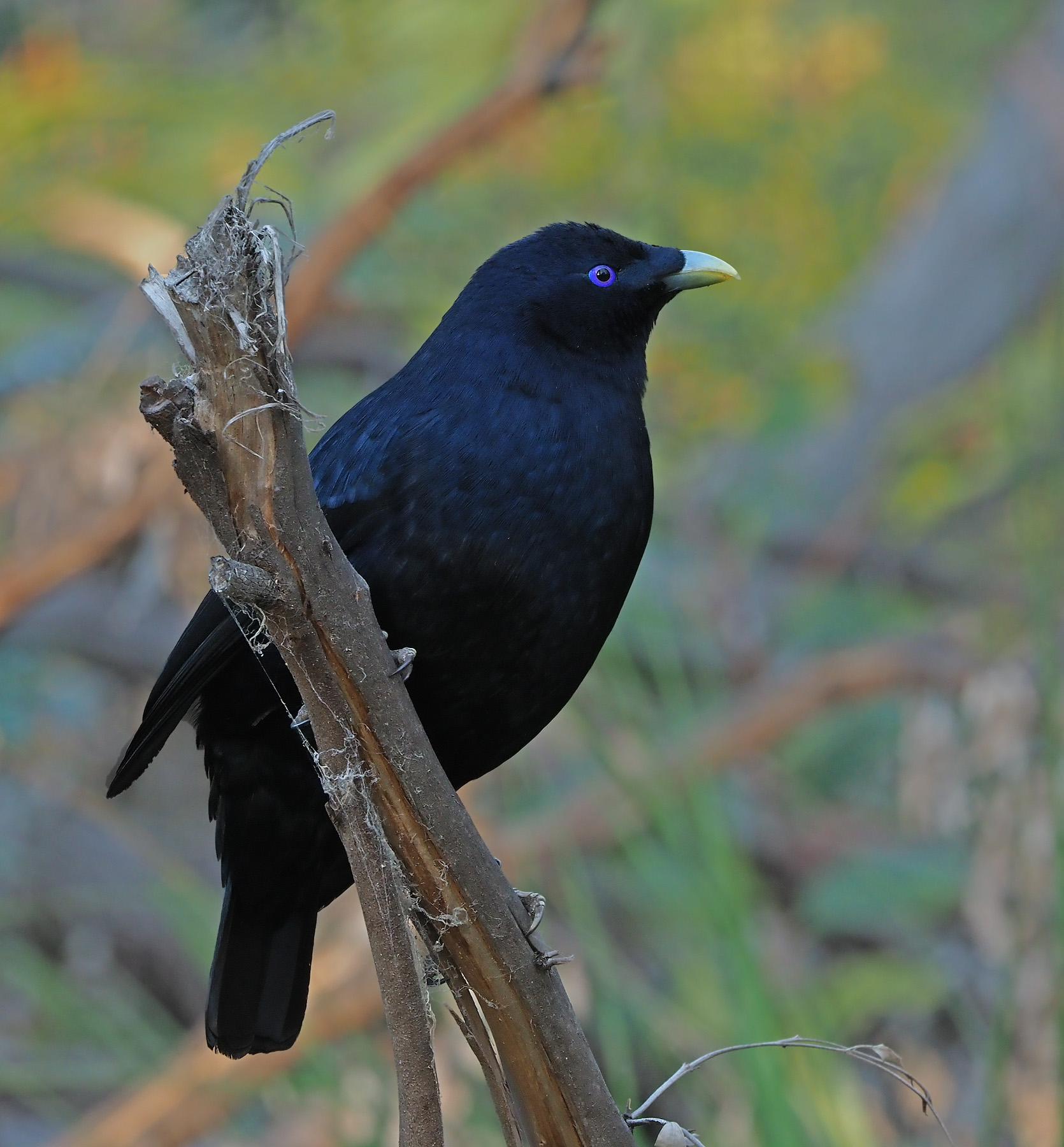 Satin Bowerbird (Image ID 42857)