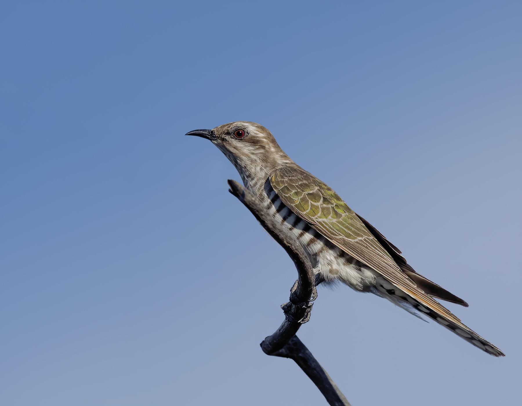 Horsfield's Bronze-Cuckoo (Image ID 42876)
