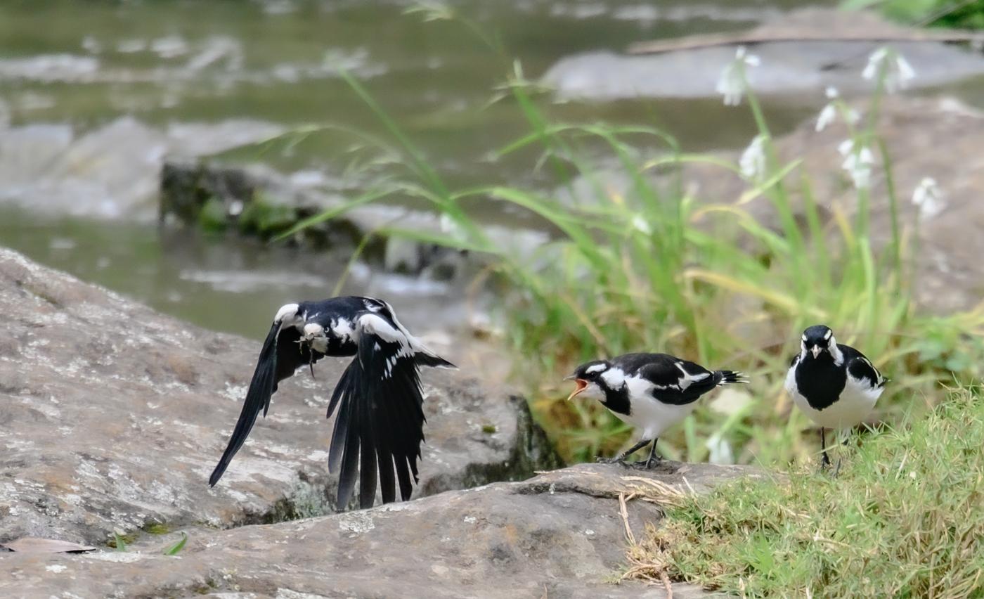 Magpie-lark (Image ID 42818)