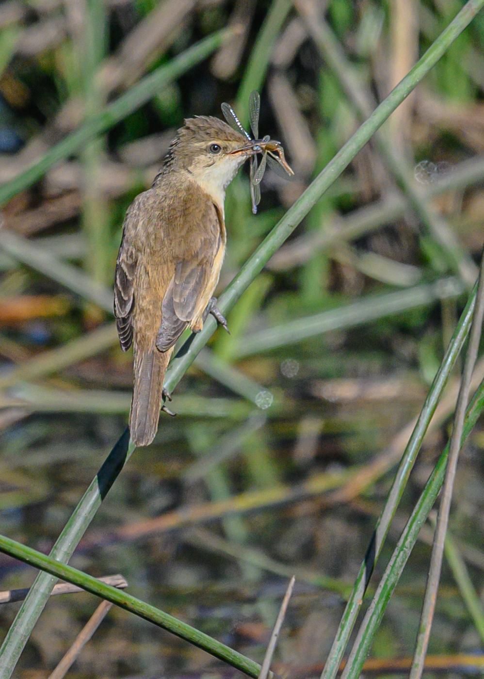 Australian Reed-Warbler (Image ID 42923)