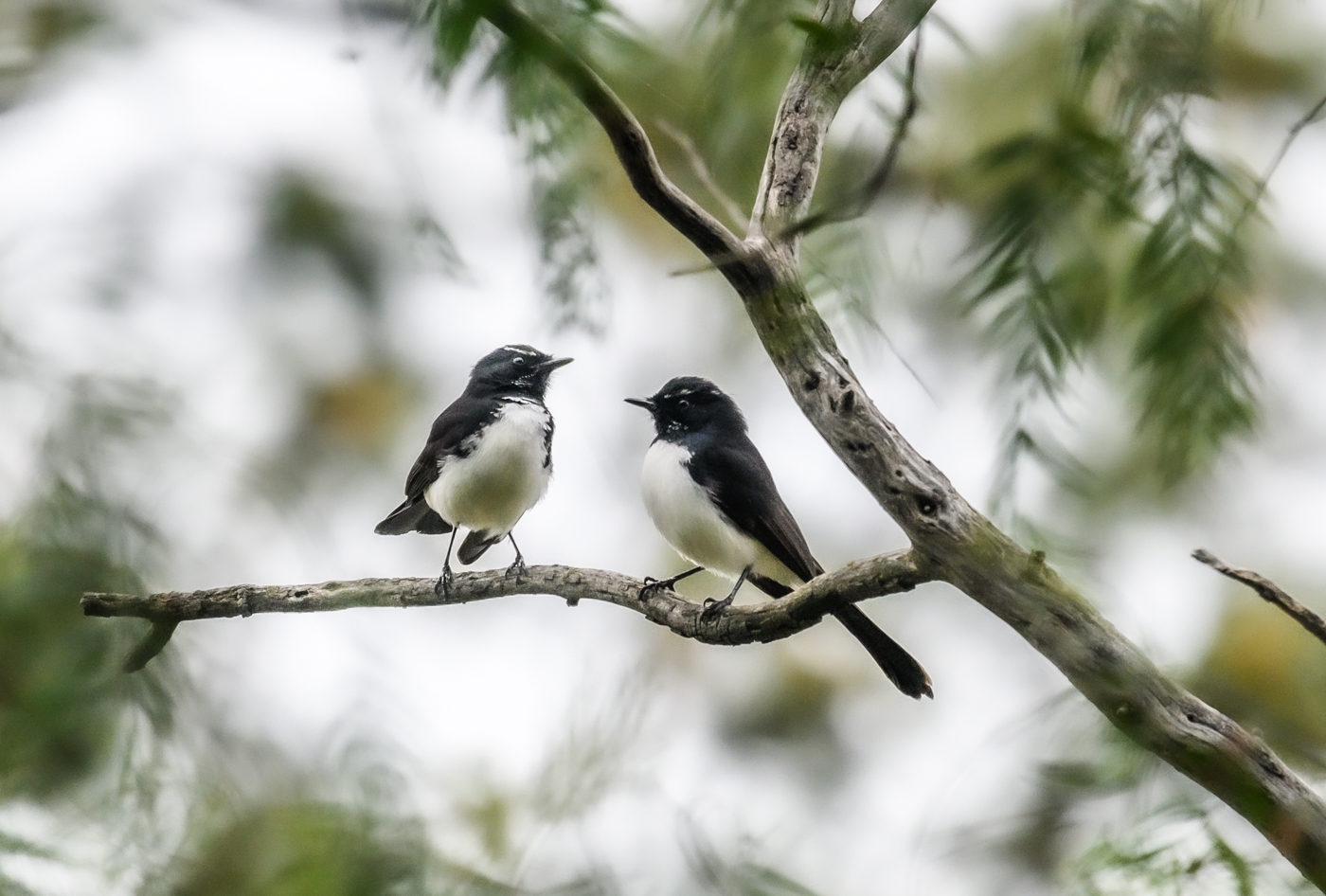 Willie Wagtail (Image ID 42822)