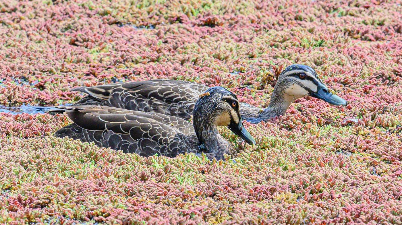 Pacific Black Duck (Image ID 42998)
