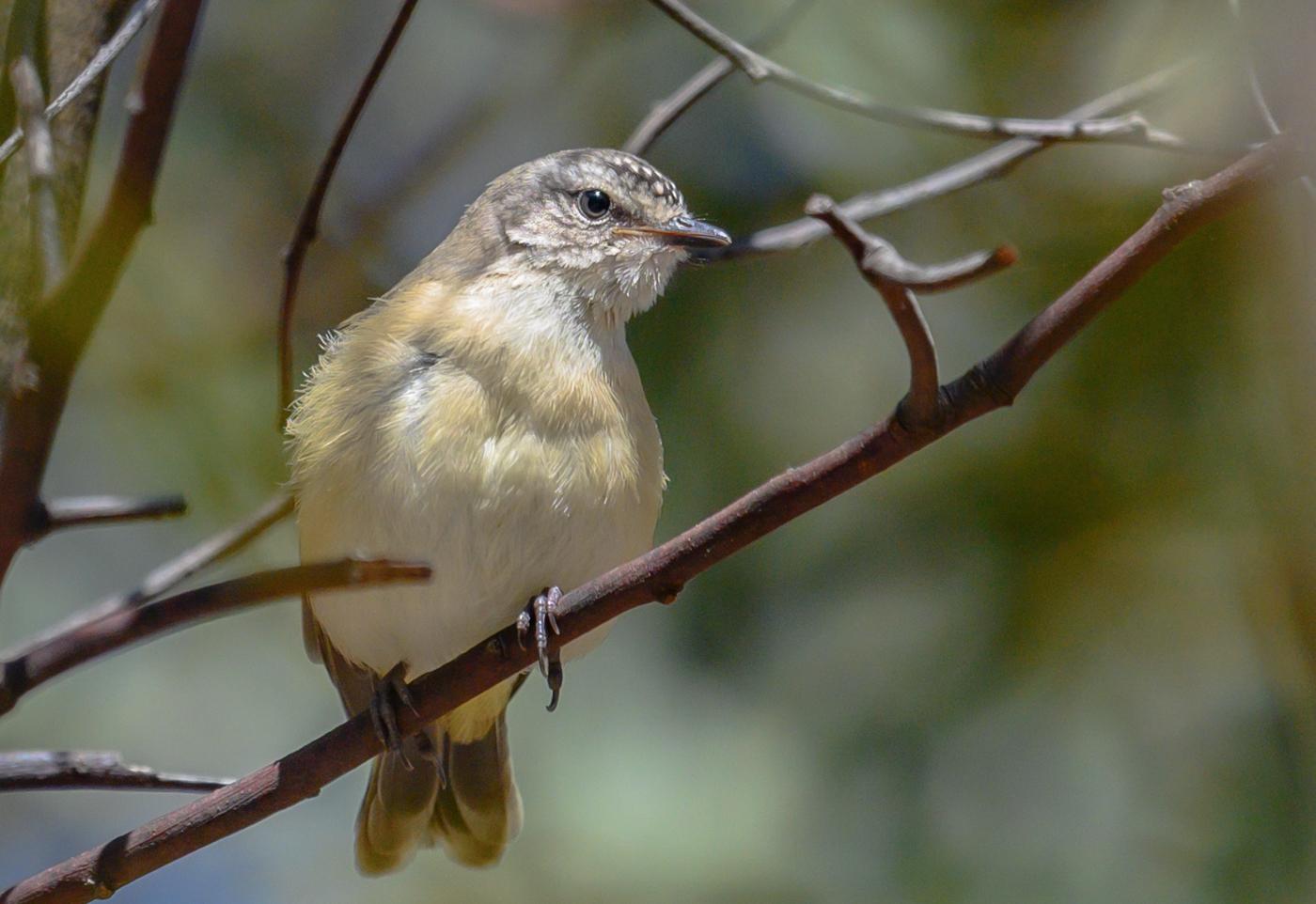 Yellow-rumped Thornbill (Image ID 43175)
