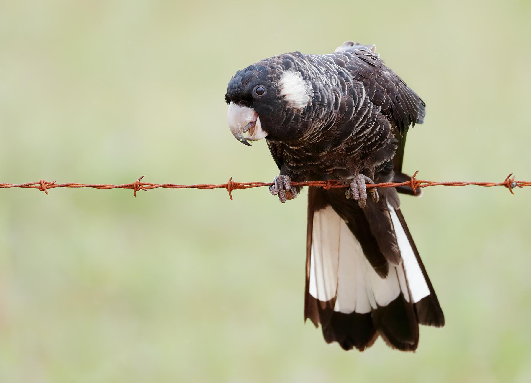 Baudin's Black-Cockatoo (Image ID 42897)