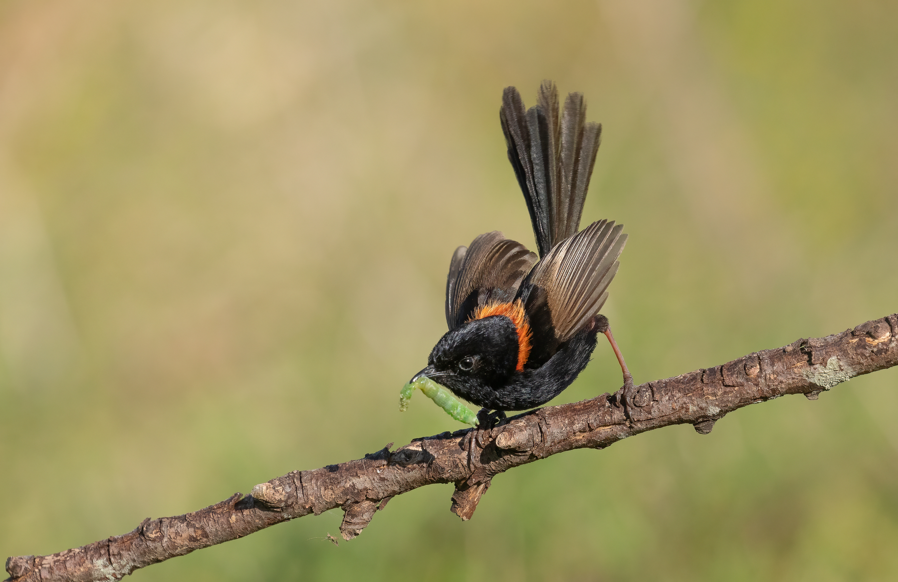 Red-backed Fairy-wren (Image ID 42852)