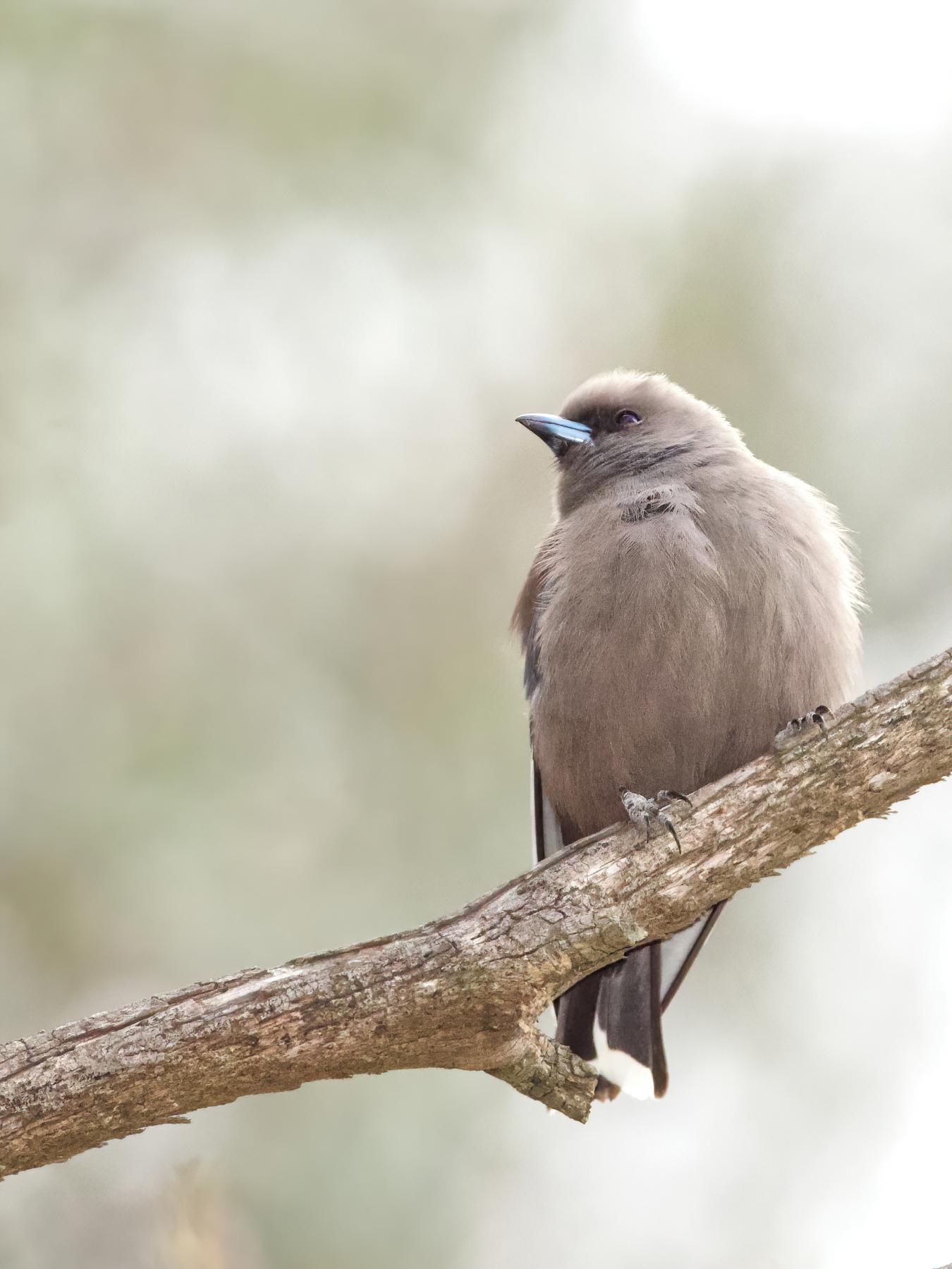 Dusky Woodswallow (Image ID 42829)