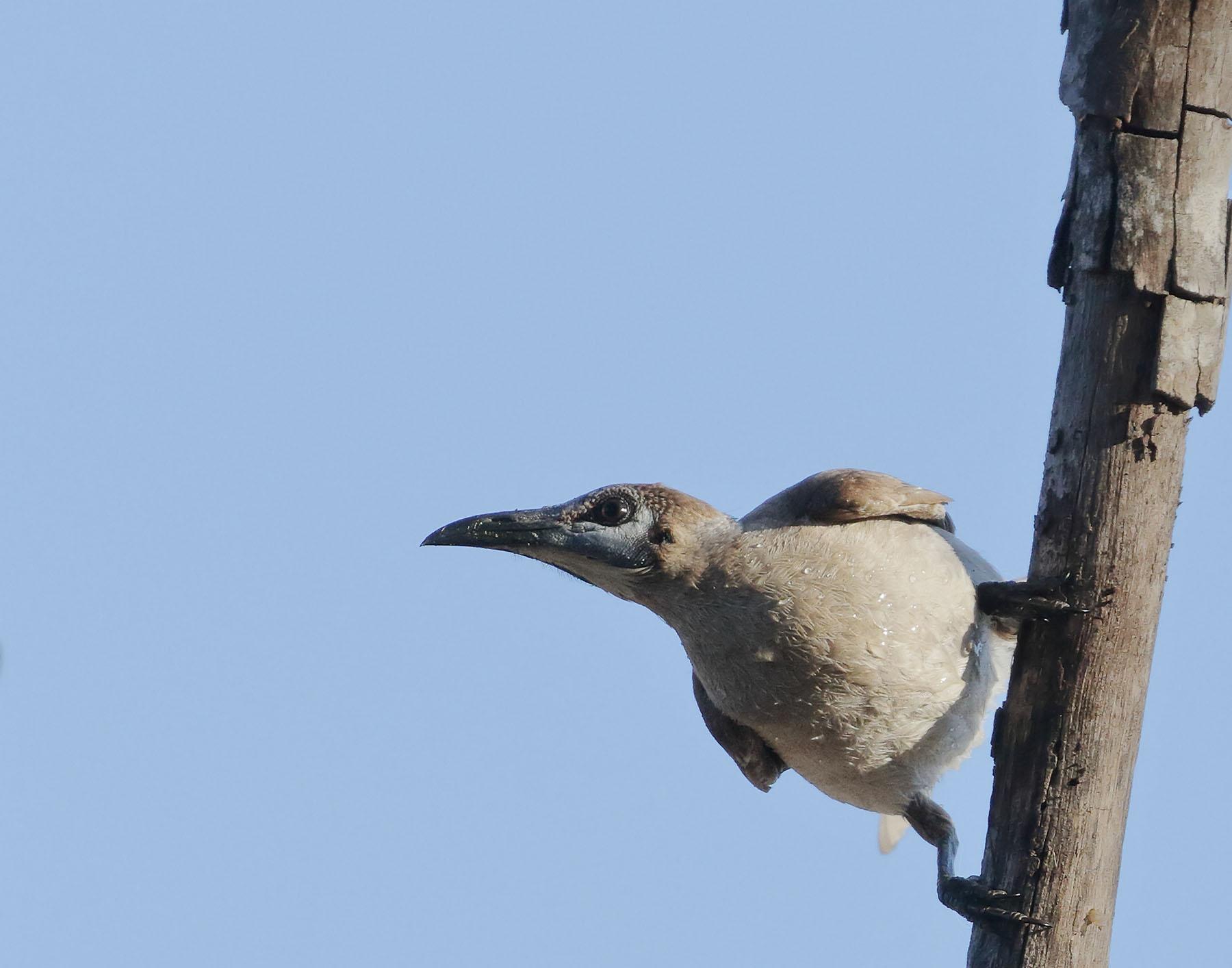 Little Friarbird (Image ID 42993)
