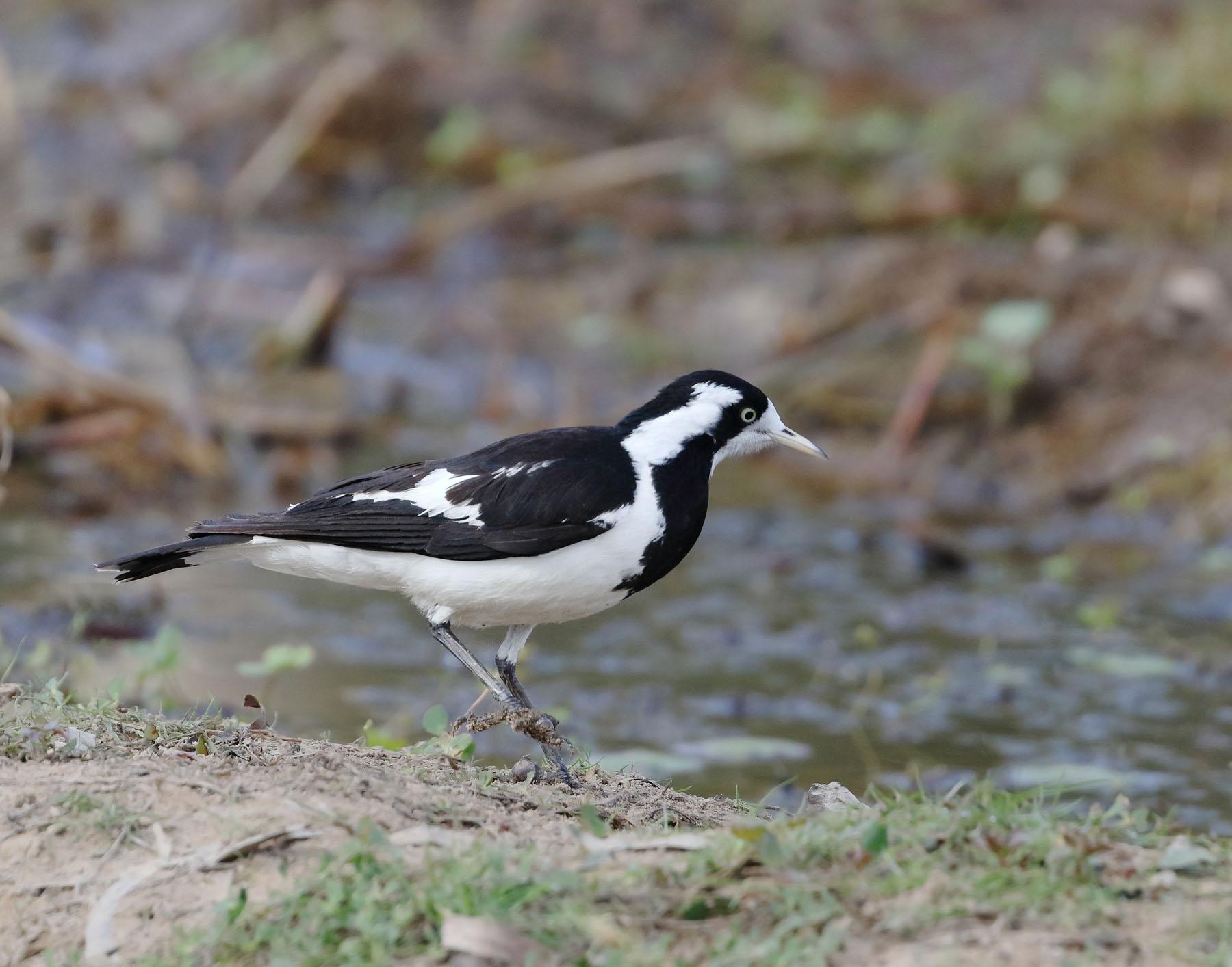 Magpie-lark (Image ID 42971)