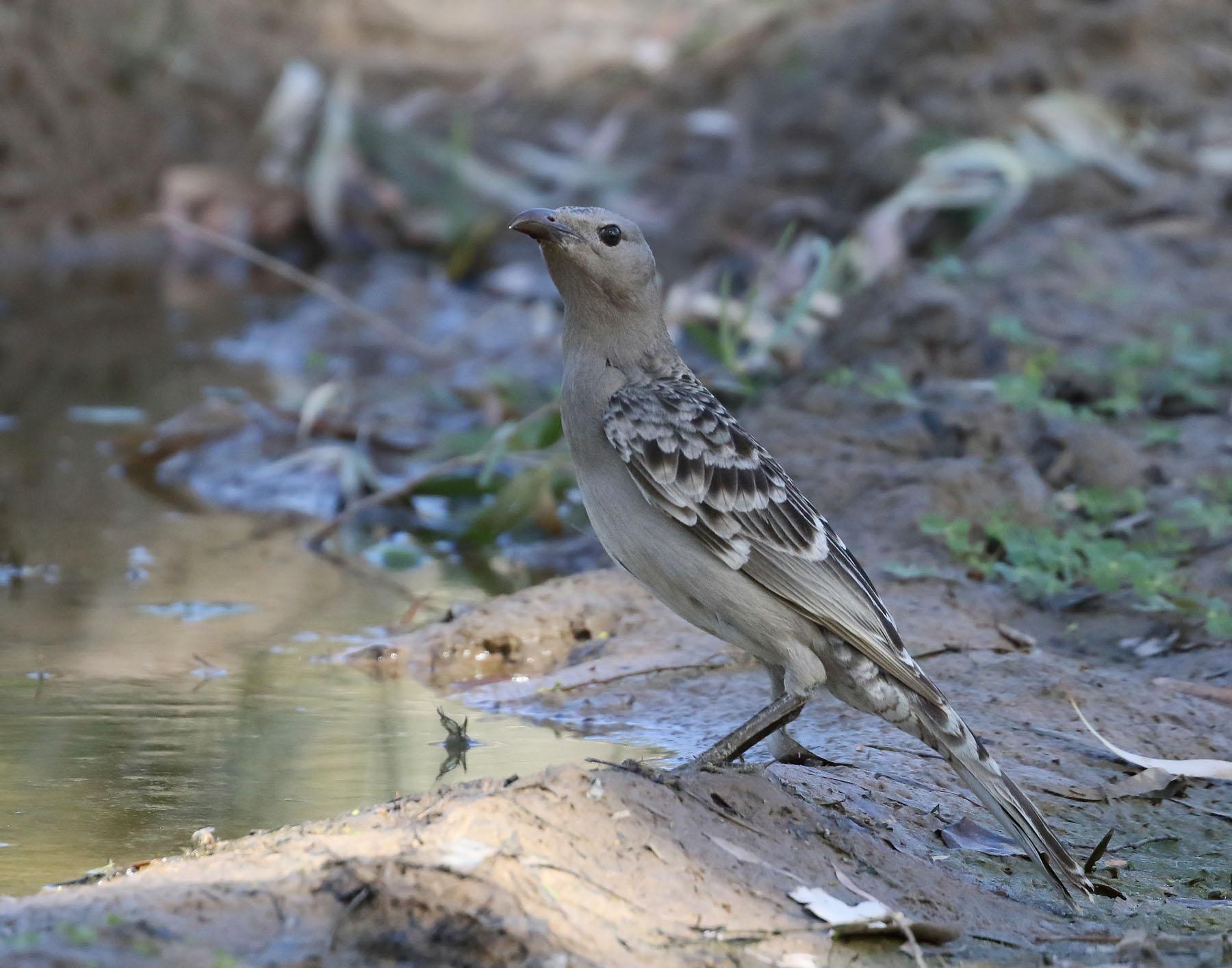 Great Bowerbird (Image ID 42992)