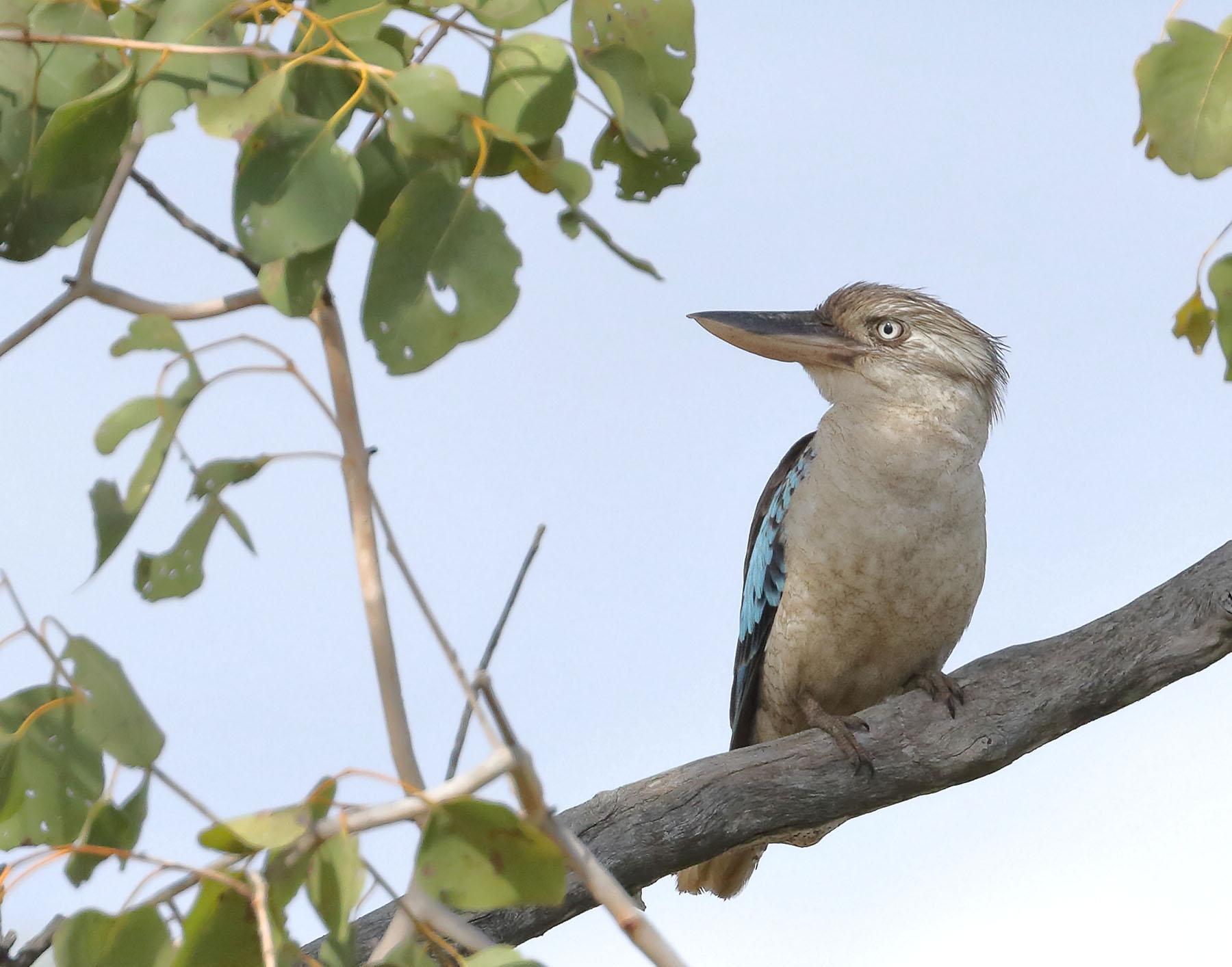 Blue-winged Kookaburra (Image ID 42972)