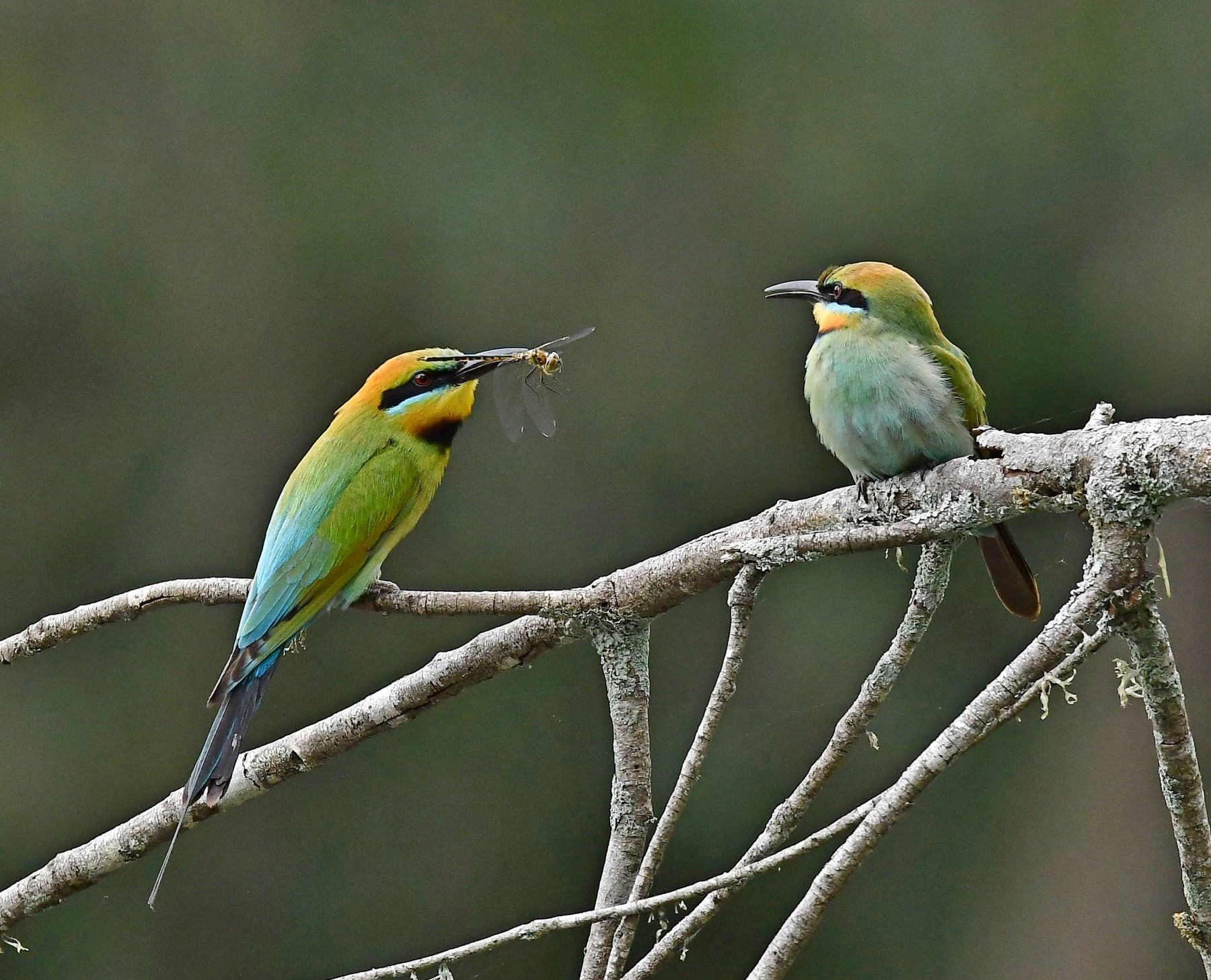 Rainbow Bee-eater (Image ID 42634)