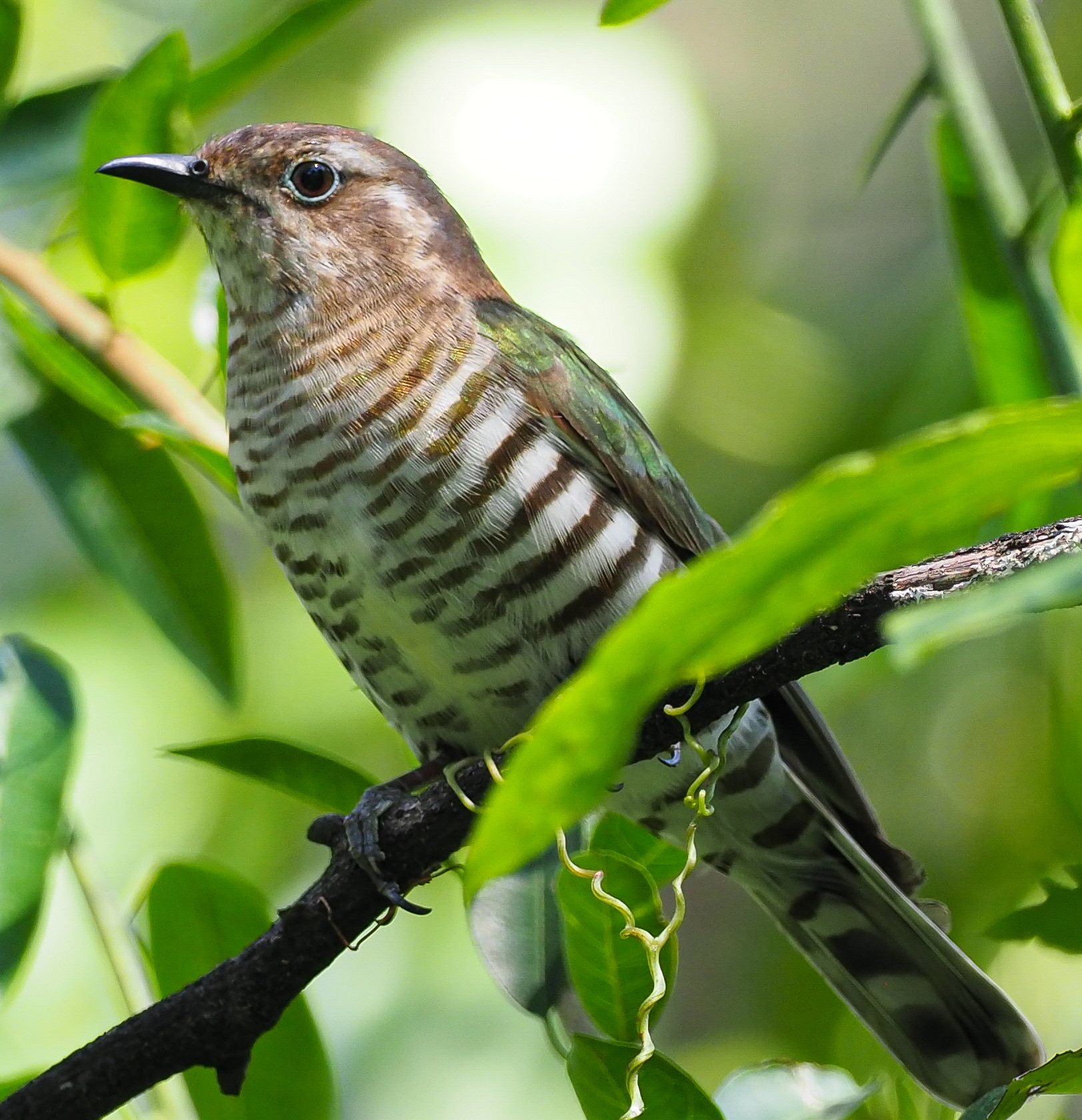 Shining Bronze-Cuckoo (Image ID 42724)