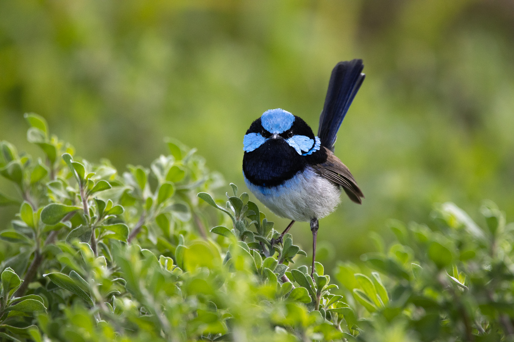 Superb Fairy-wren (Image ID 43102)