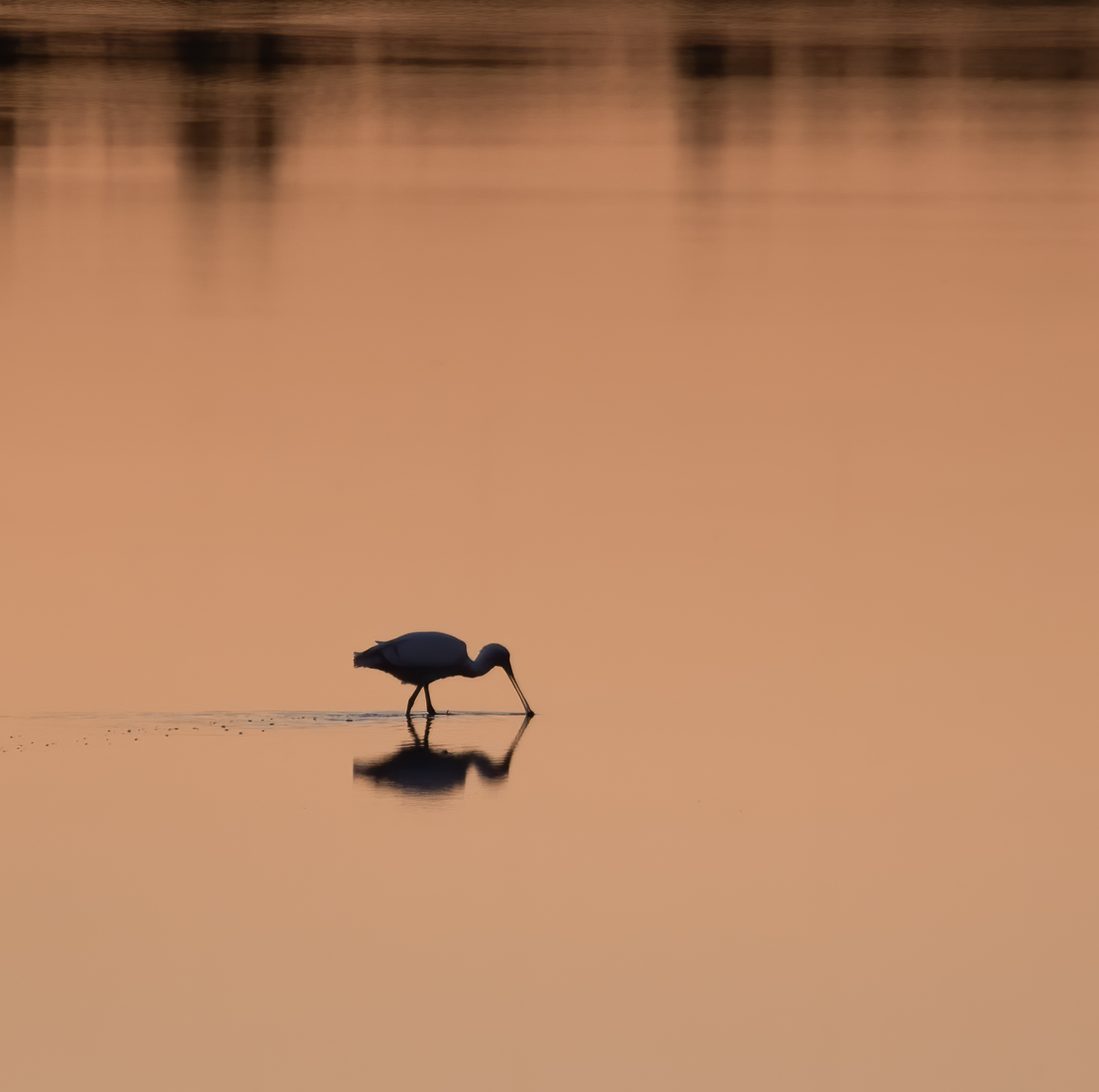 Yellow-billed Spoonbill (Image ID 42686)