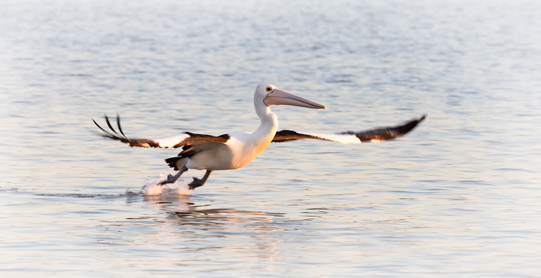 Australian Pelican (Image ID 42688)