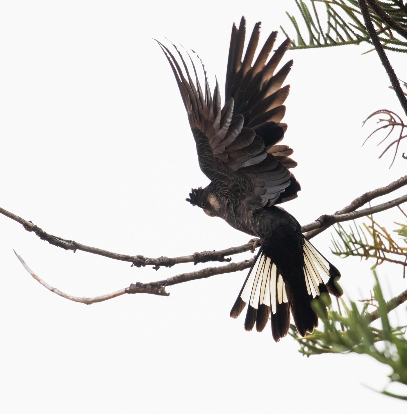 Carnaby's Black-Cockatoo (Image ID 43181)