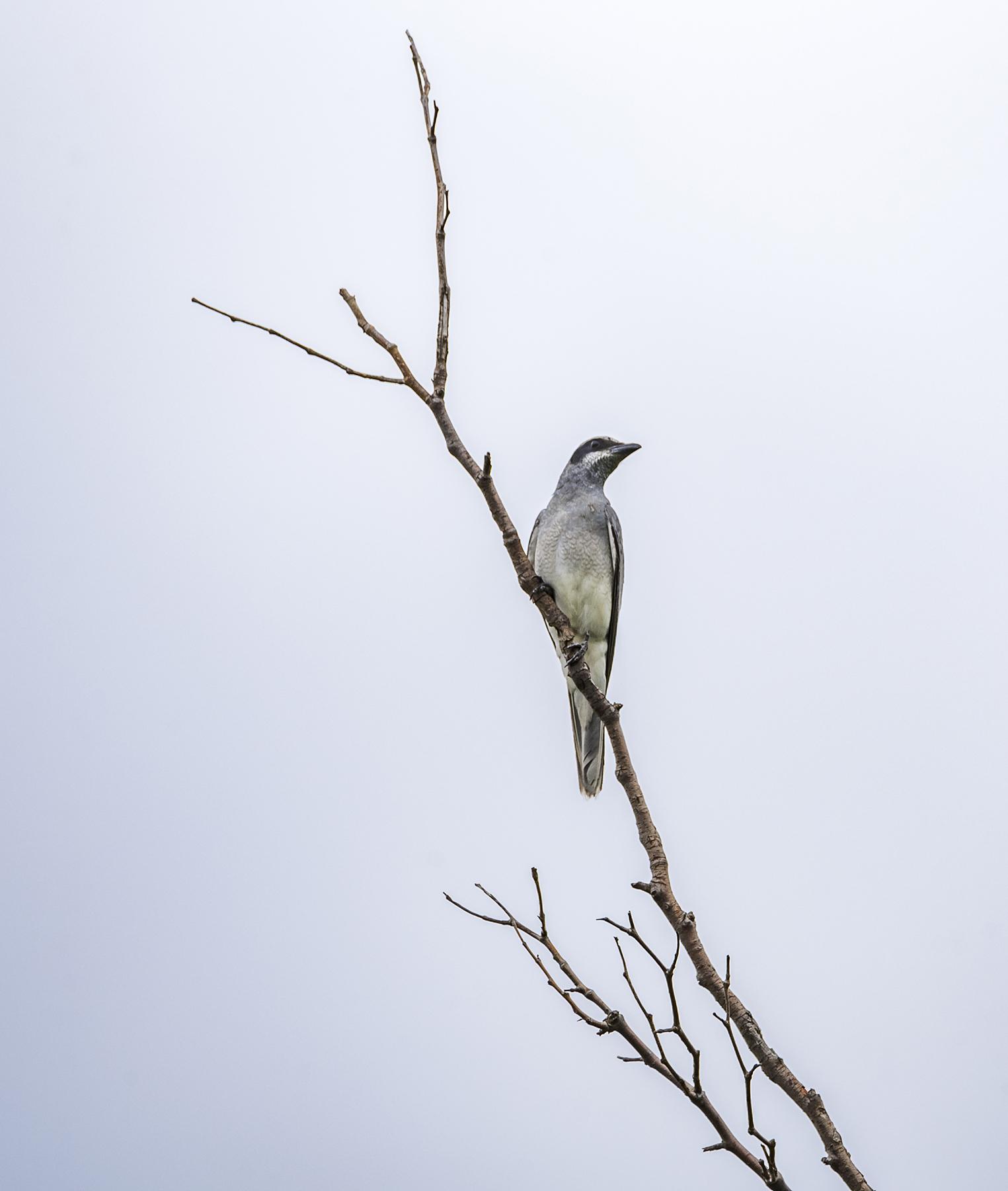 Black-faced Cuckoo-shrike (Image ID 42951)