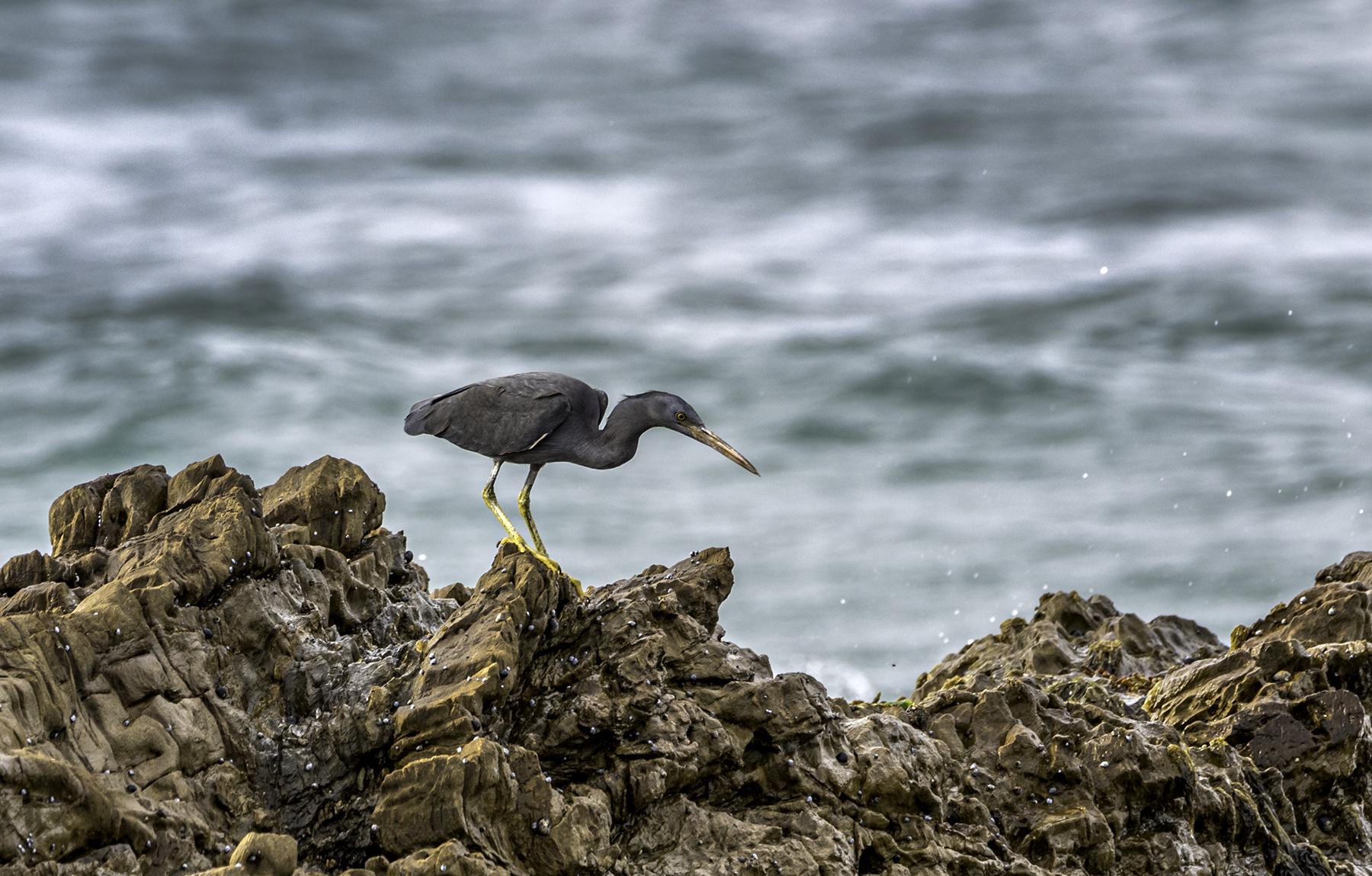 Eastern Reef Egret (Image ID 42767)