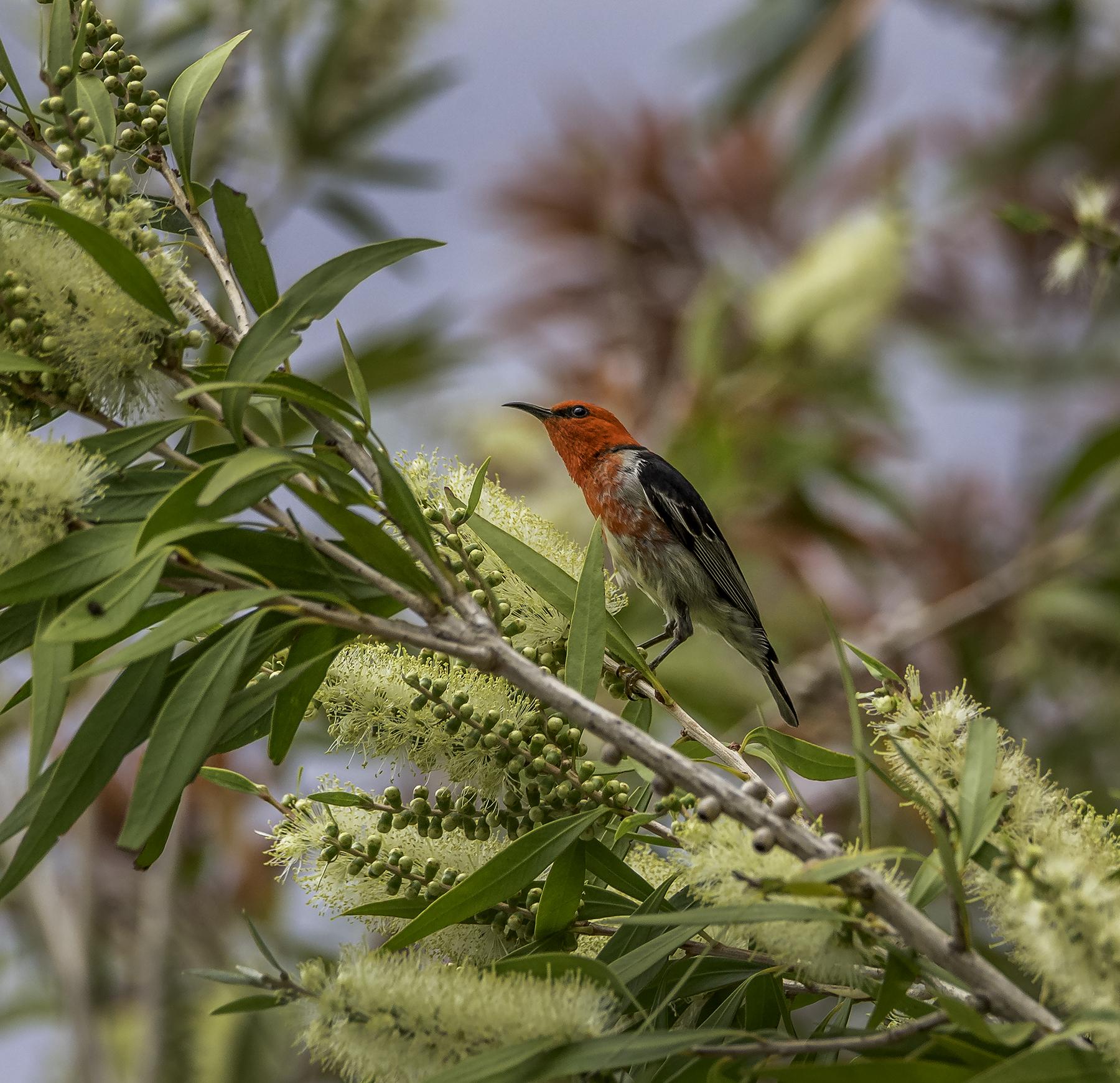 Scarlet Honeyeater (Image ID 42766)
