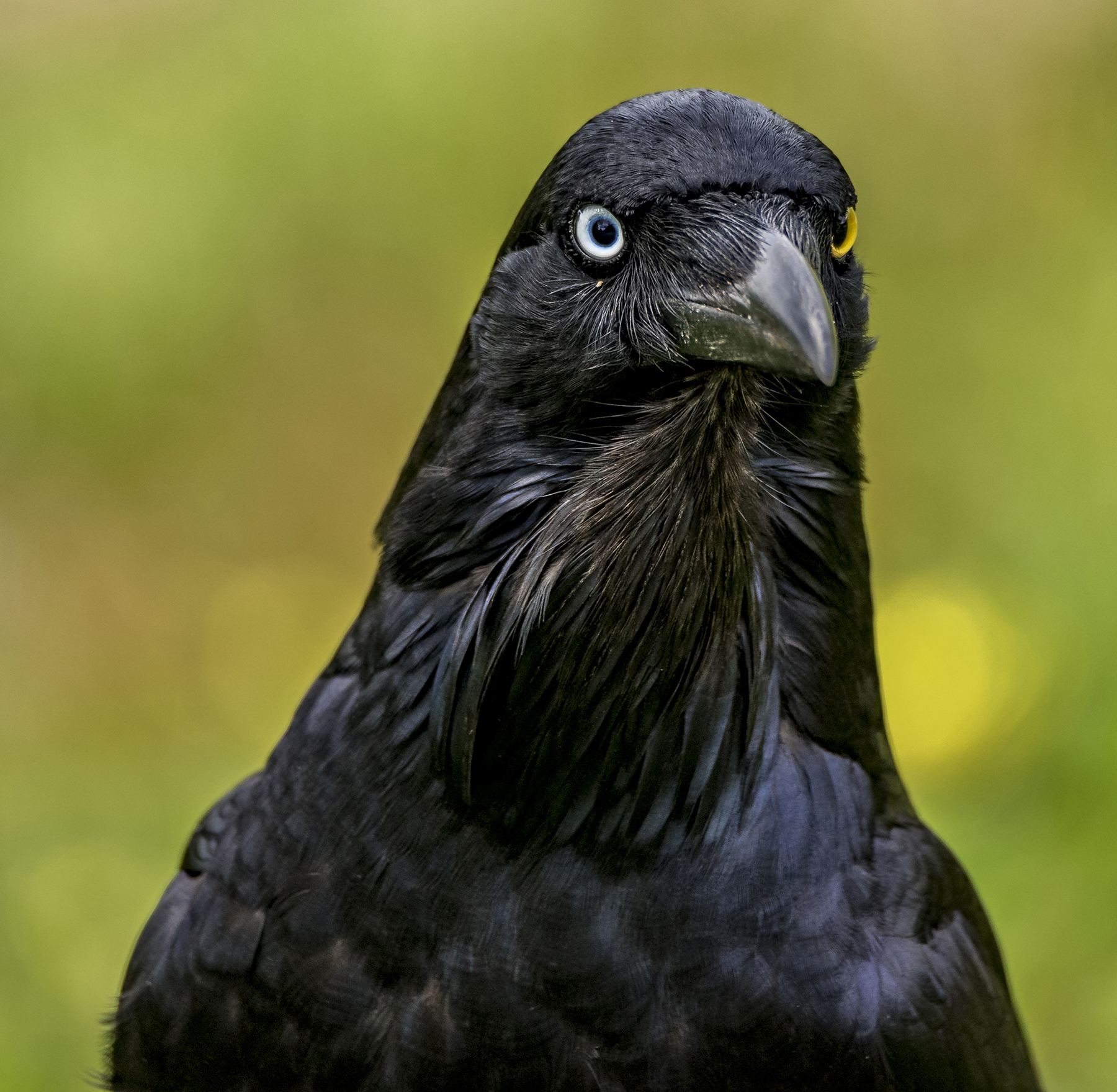 Australian Raven (Image ID 42948)