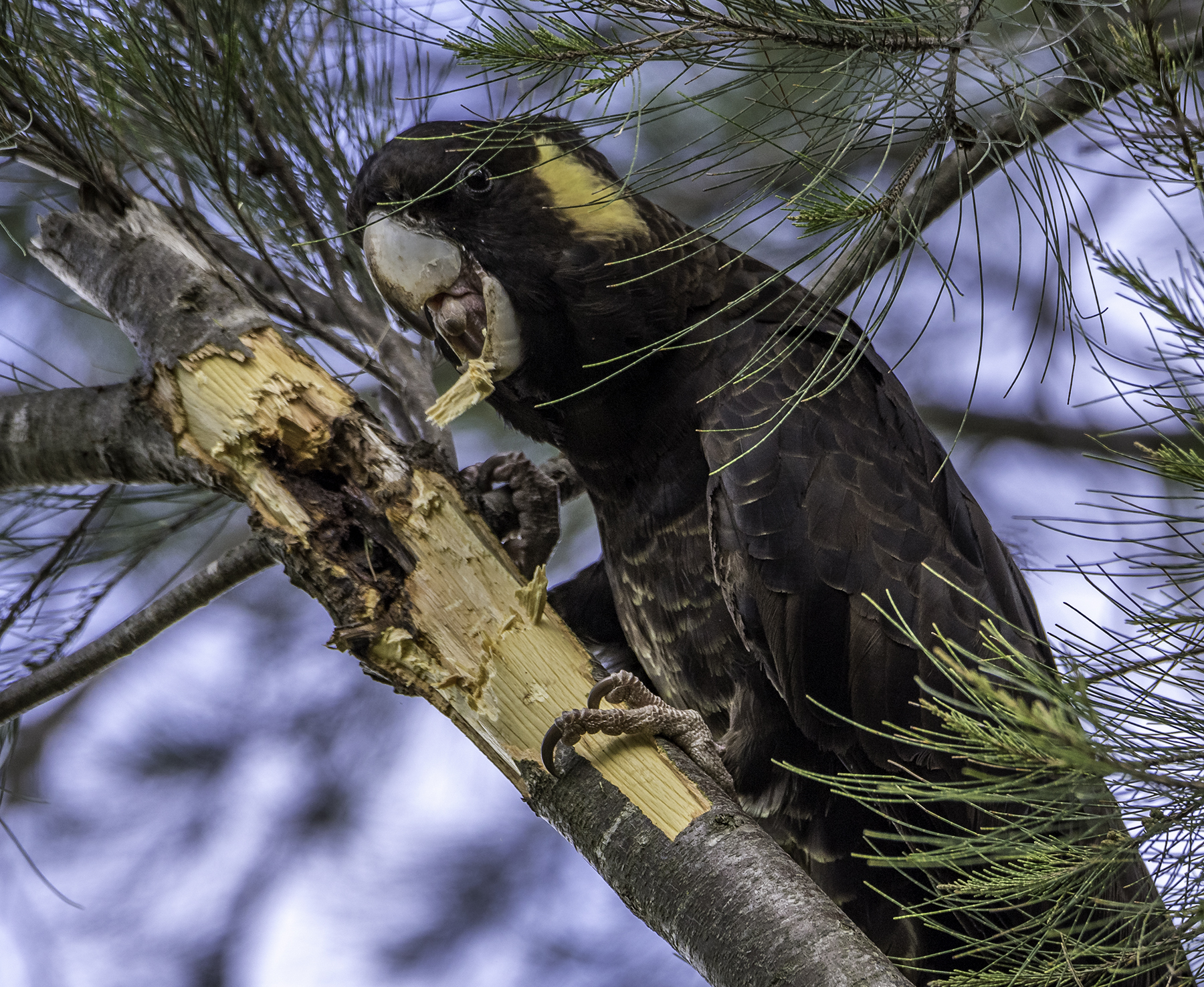 Yellow-tailed Black-Cockatoo (Image ID 43022)