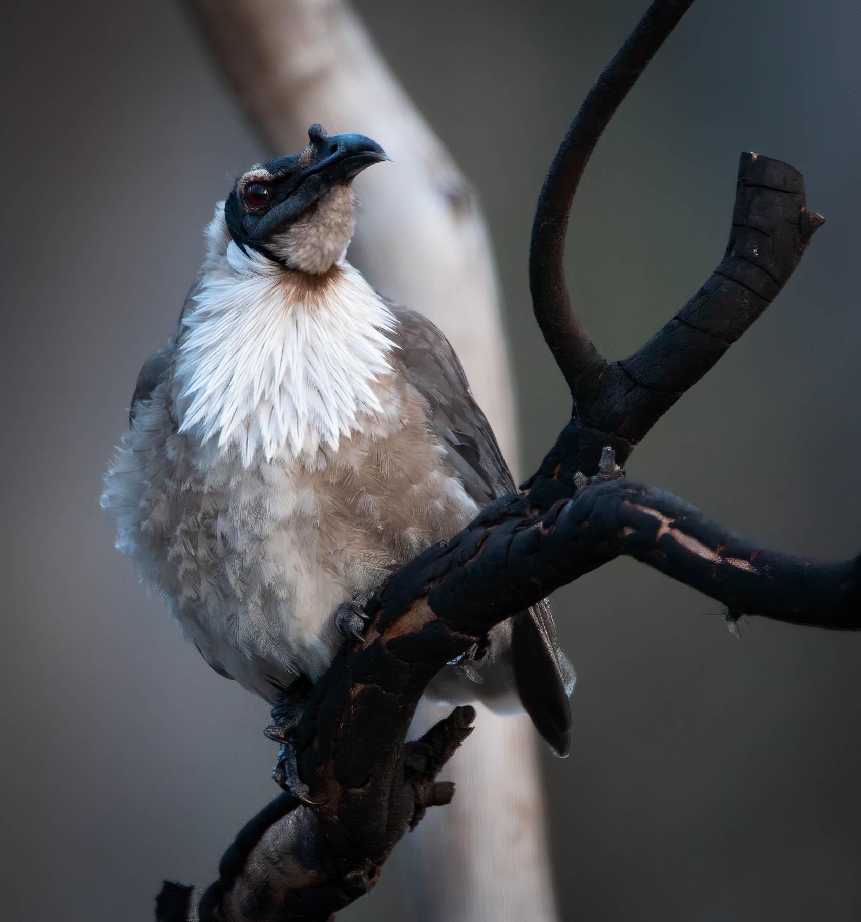 Noisy Friarbird (Image ID 42746)
