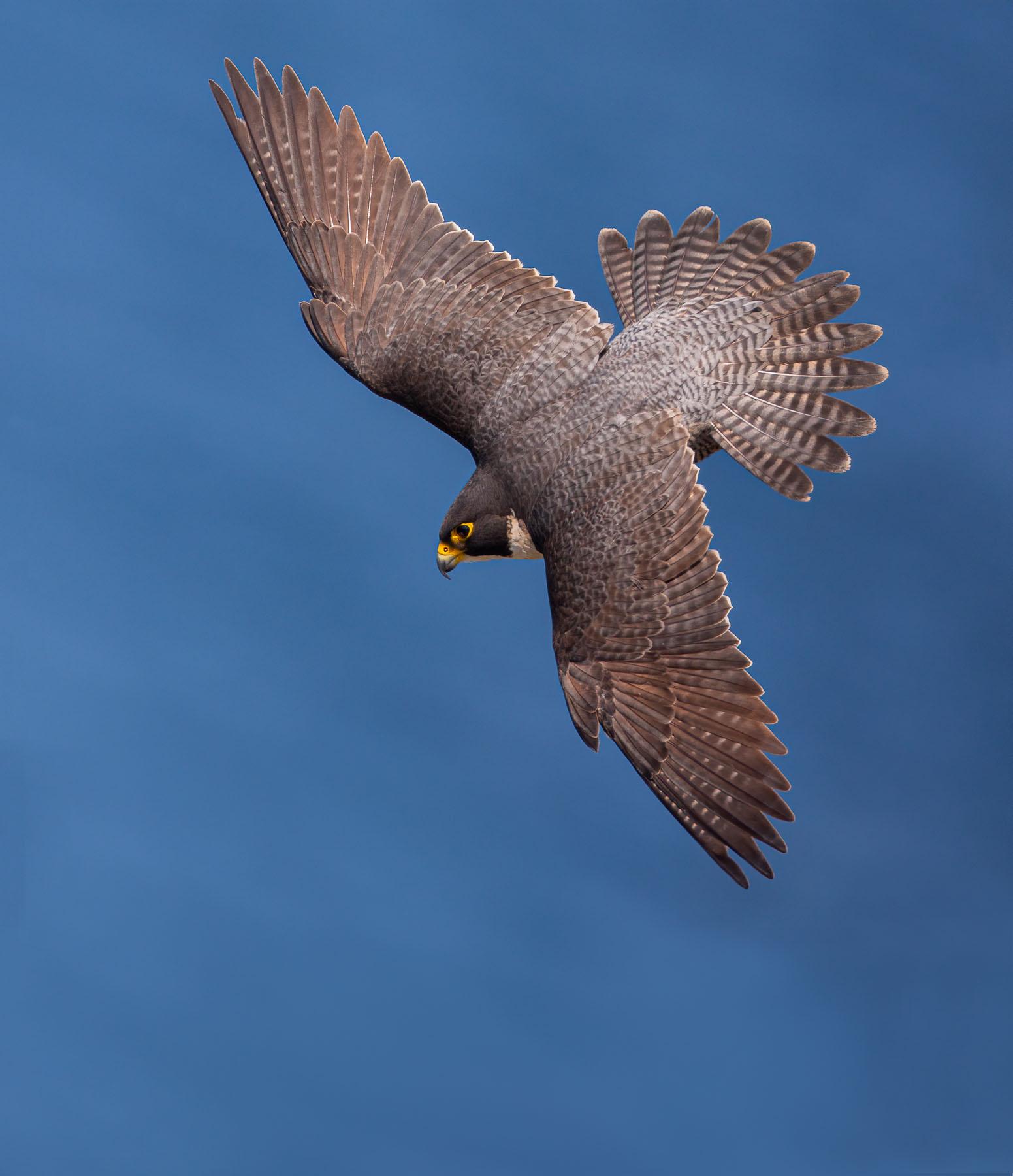 Peregrine Falcon (Image ID 42745)
