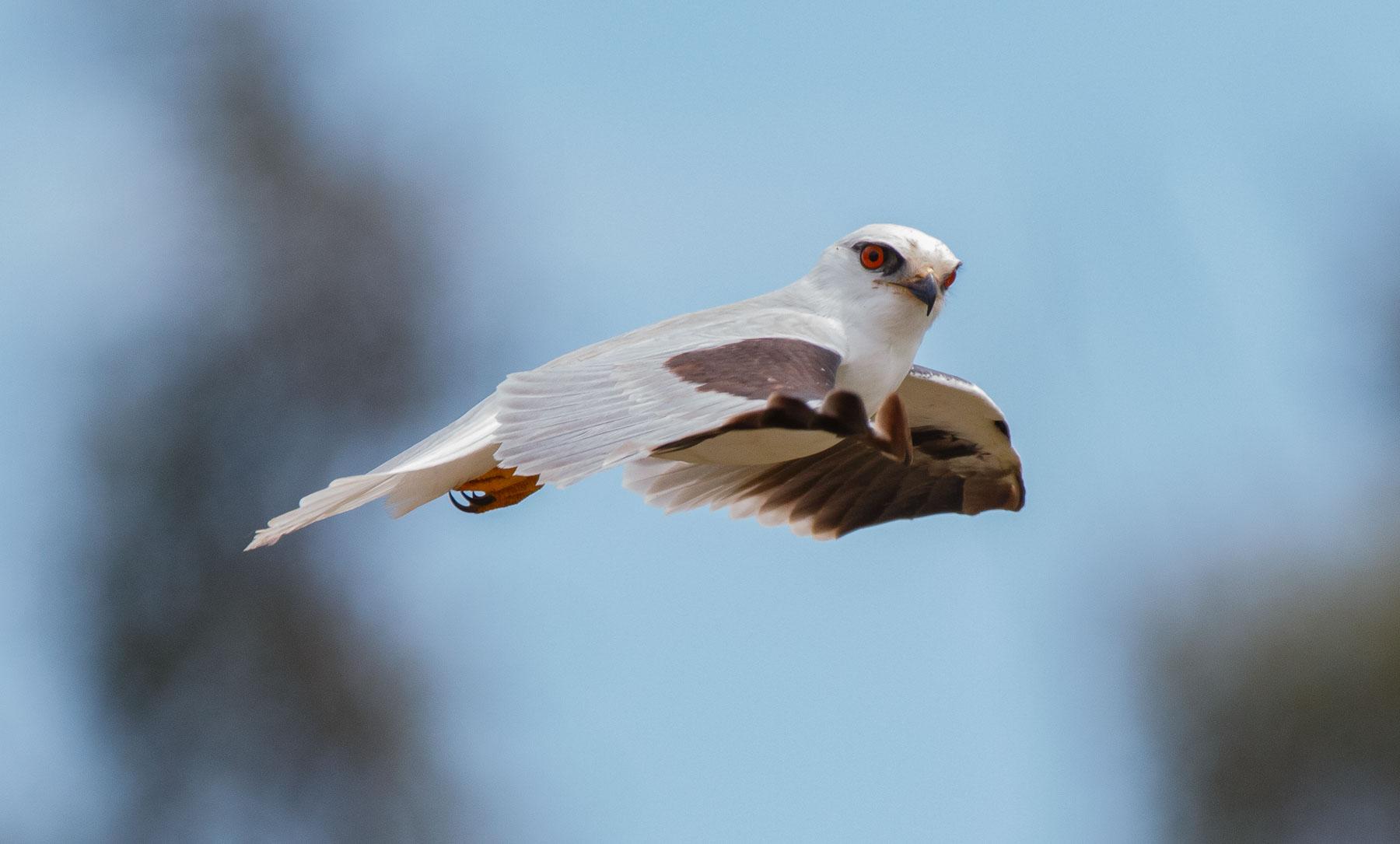 Black-shouldered Kite (Image ID 43043)