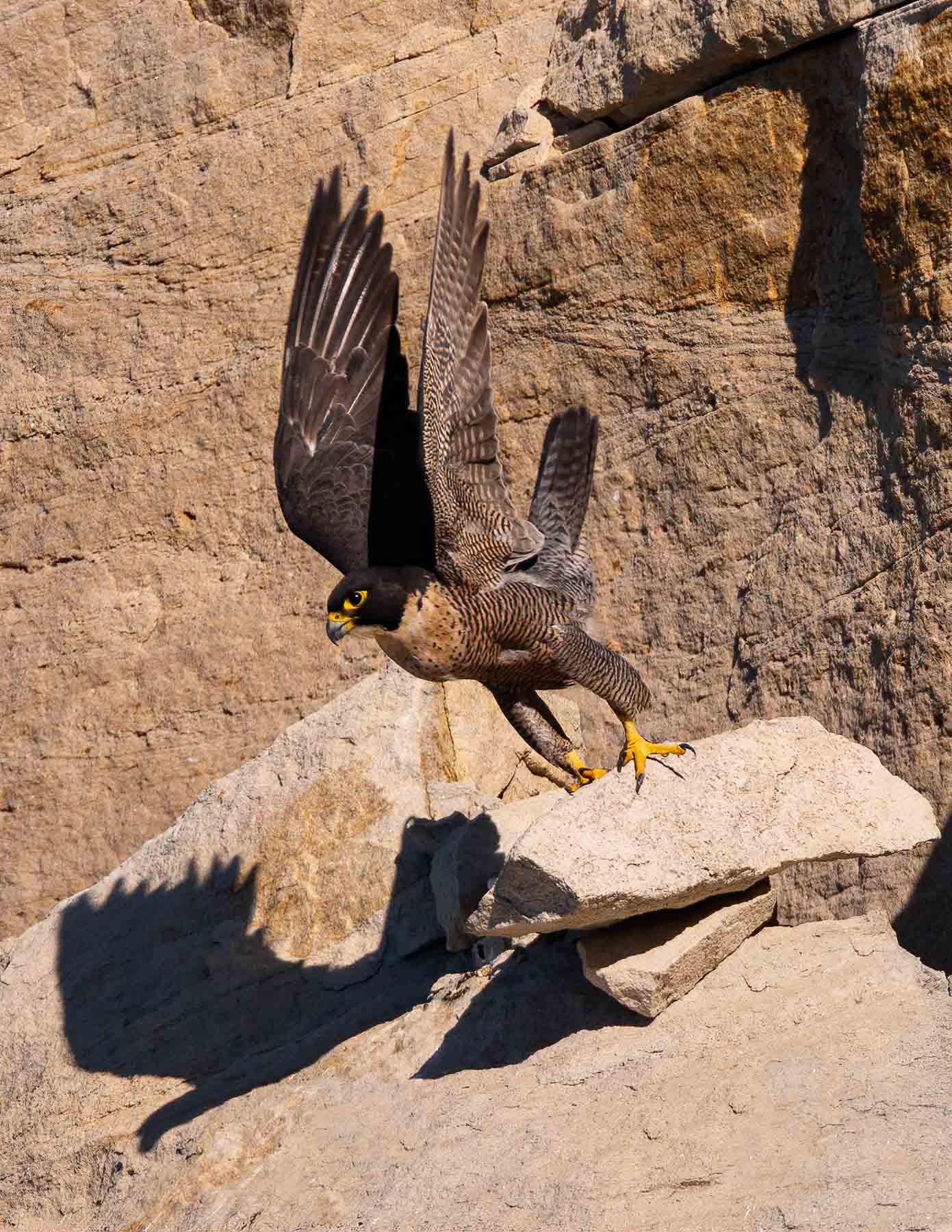 Peregrine Falcon (Image ID 42744)