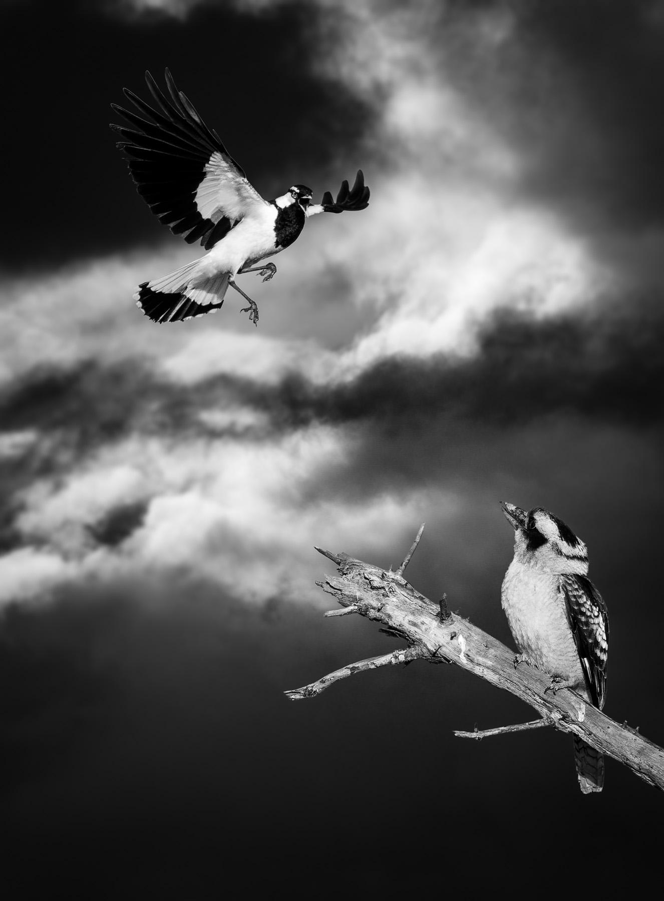 Laughing Kookaburra, Magpie-lark (Image ID 42748)