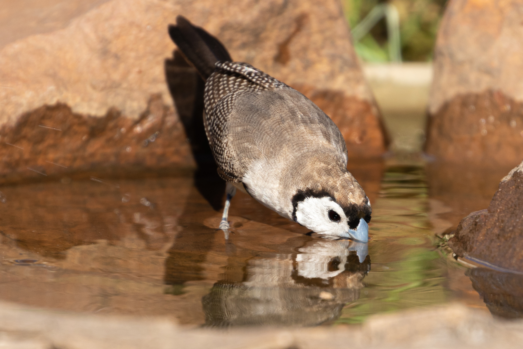Double-barred Finch (Image ID 43103)