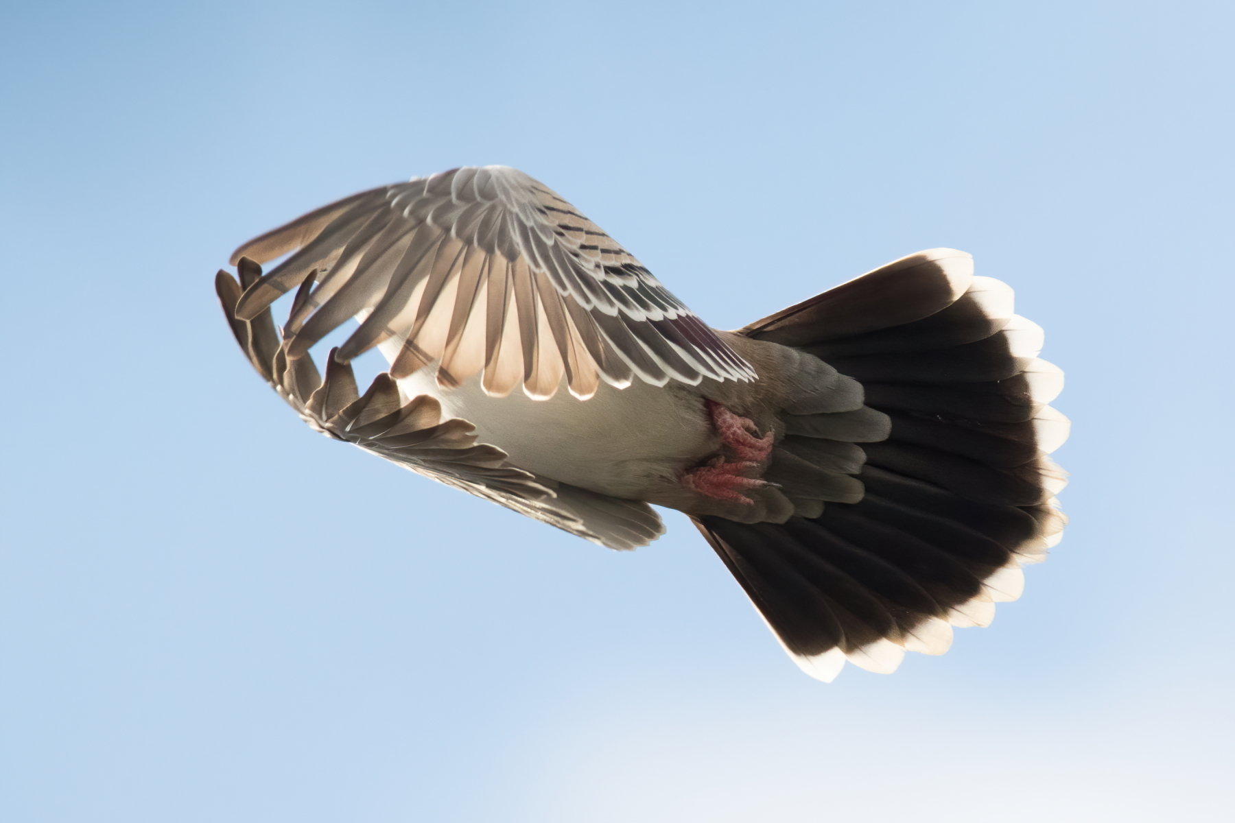 Crested Pigeon (Image ID 43069)