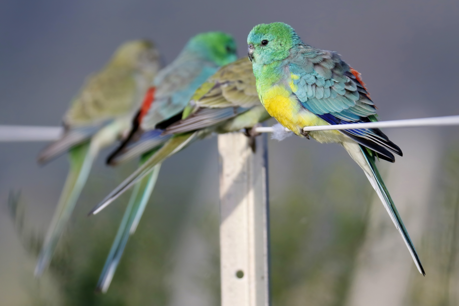 Red-rumped Parrot (Image ID 42779)