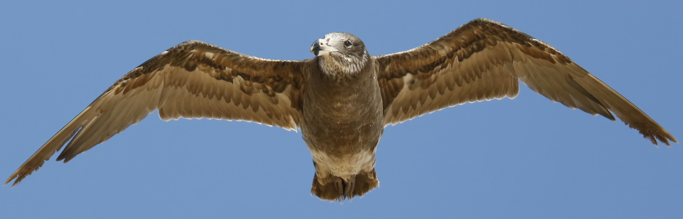 Pacific Gull (Image ID 42677)