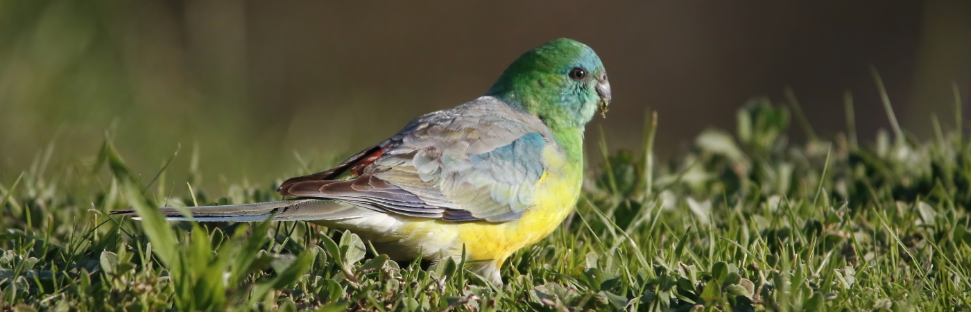 Red-rumped Parrot (Image ID 42940)