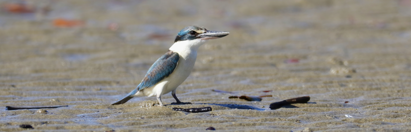 Sacred Kingfisher (Image ID 42780)